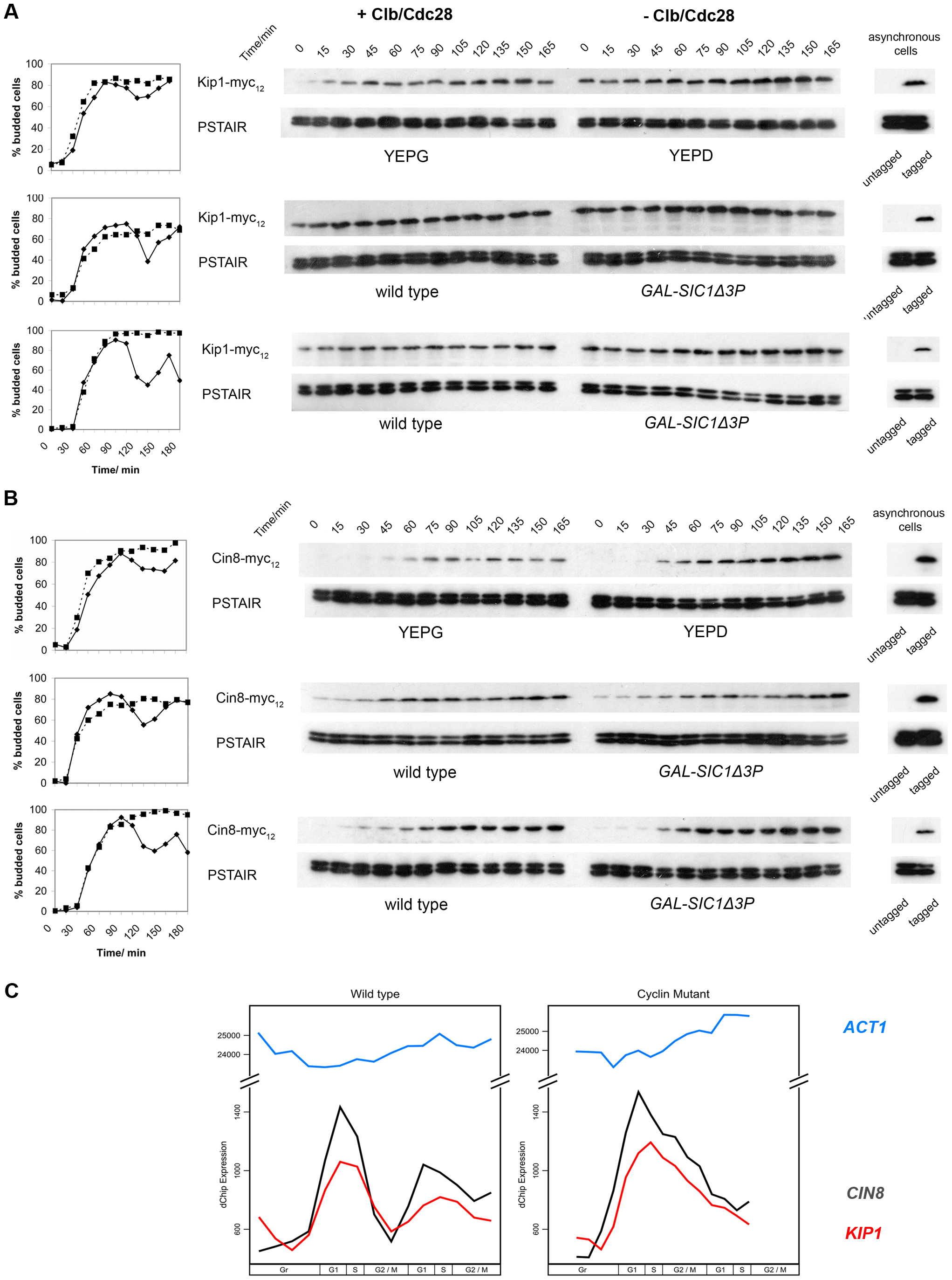 Kip1 and Cin8 protein and mRNA levels in the presence and the absence of active Clb/Cdc28 kinase.