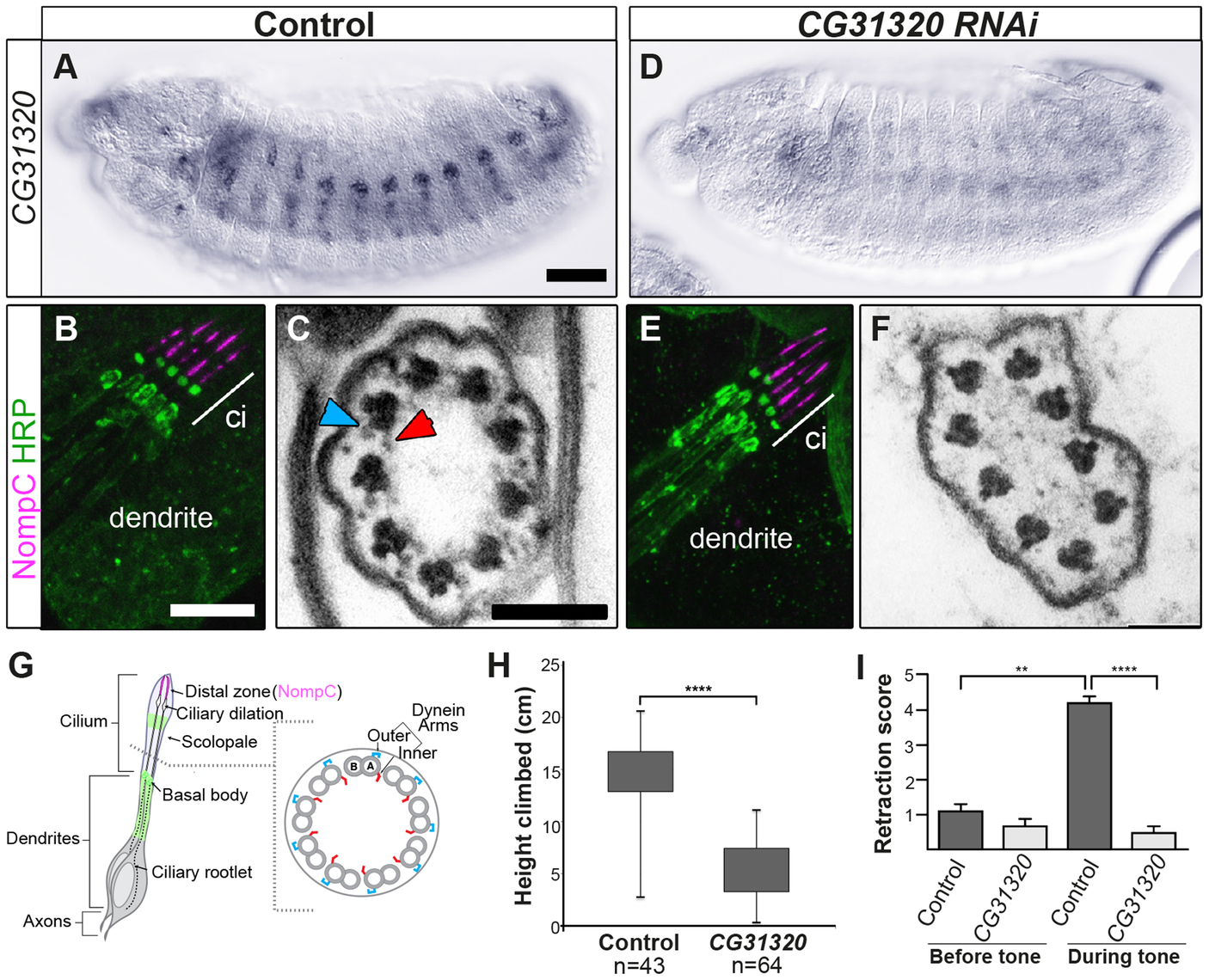<i>CG31320</i> is required for mechanosensory structure and function in Ch neurons.