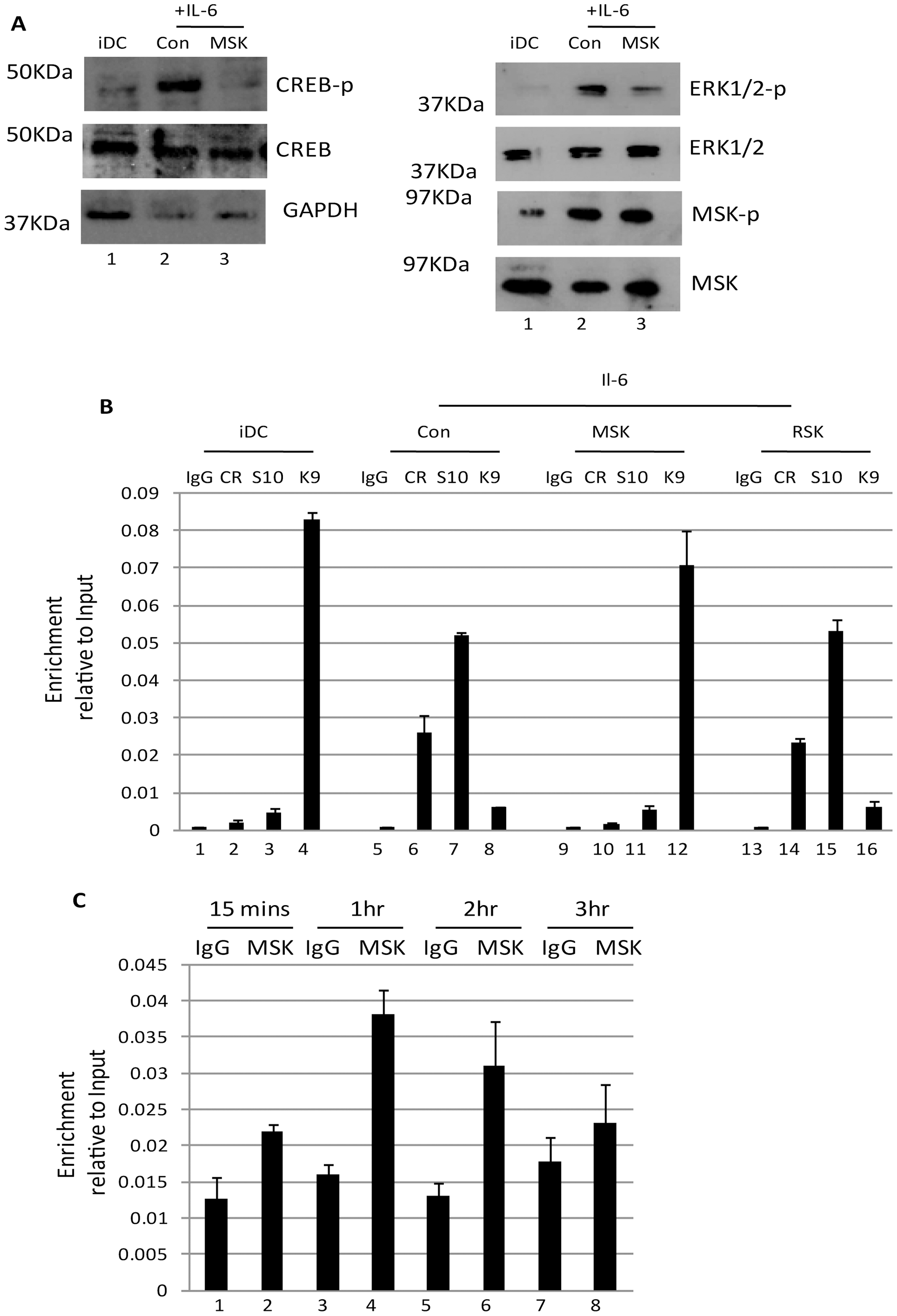 Inhibition of mitogen and stress kinase activity blocks CREB and histone phosphorylation at the MIEP.