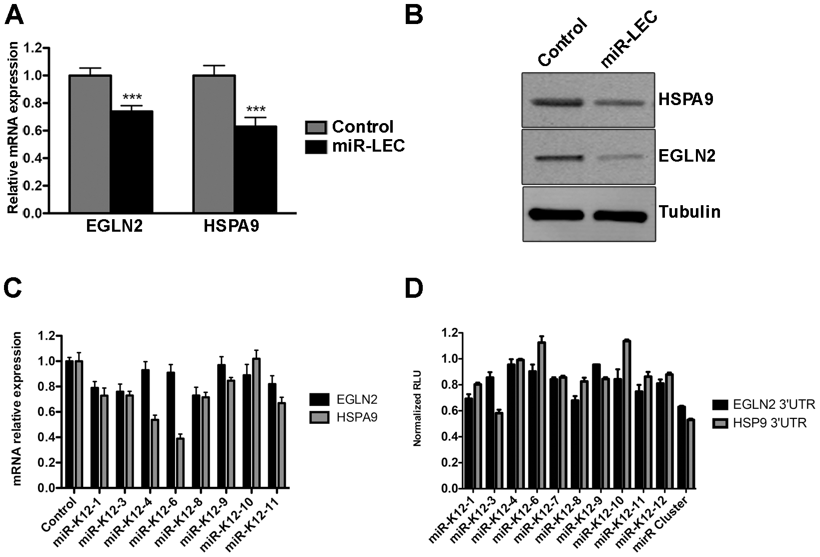 The KSHV miRNA cluster regulates EGLN2 and HSPA9.