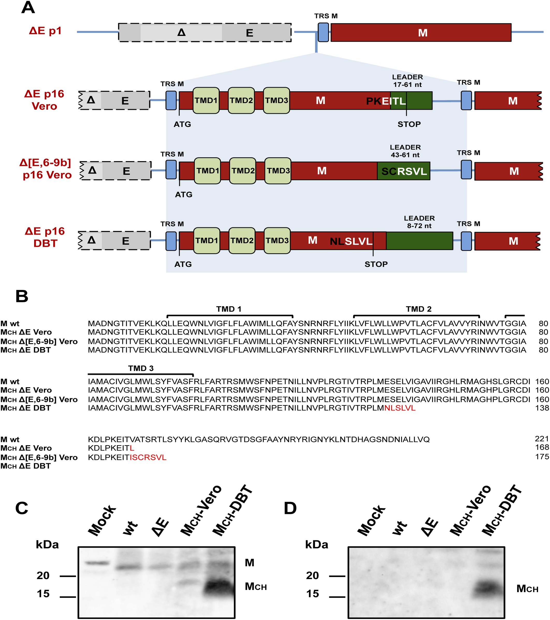 Generation of chimeric membrane genes after 16 serial passages of SARS-CoV lacking E protein in cell culture.