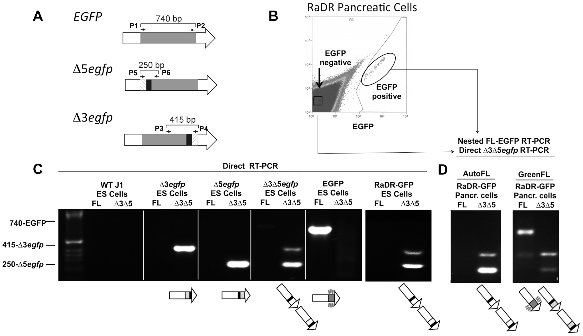 HR leads to reconstitution of full-length <i>EGFP</i> coding sequence within green fluorescent RaDR-GFP pancreatic cells.