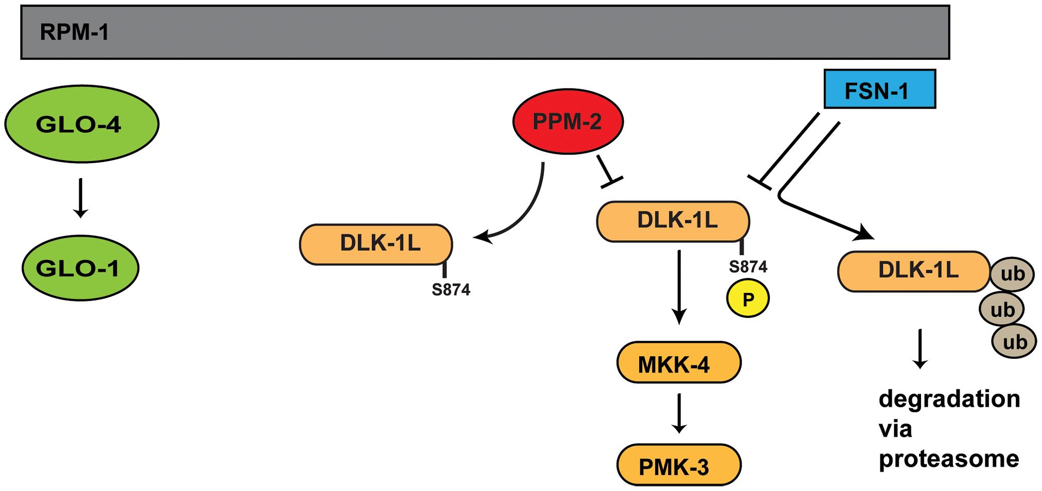Summary of RPM-1 signaling.