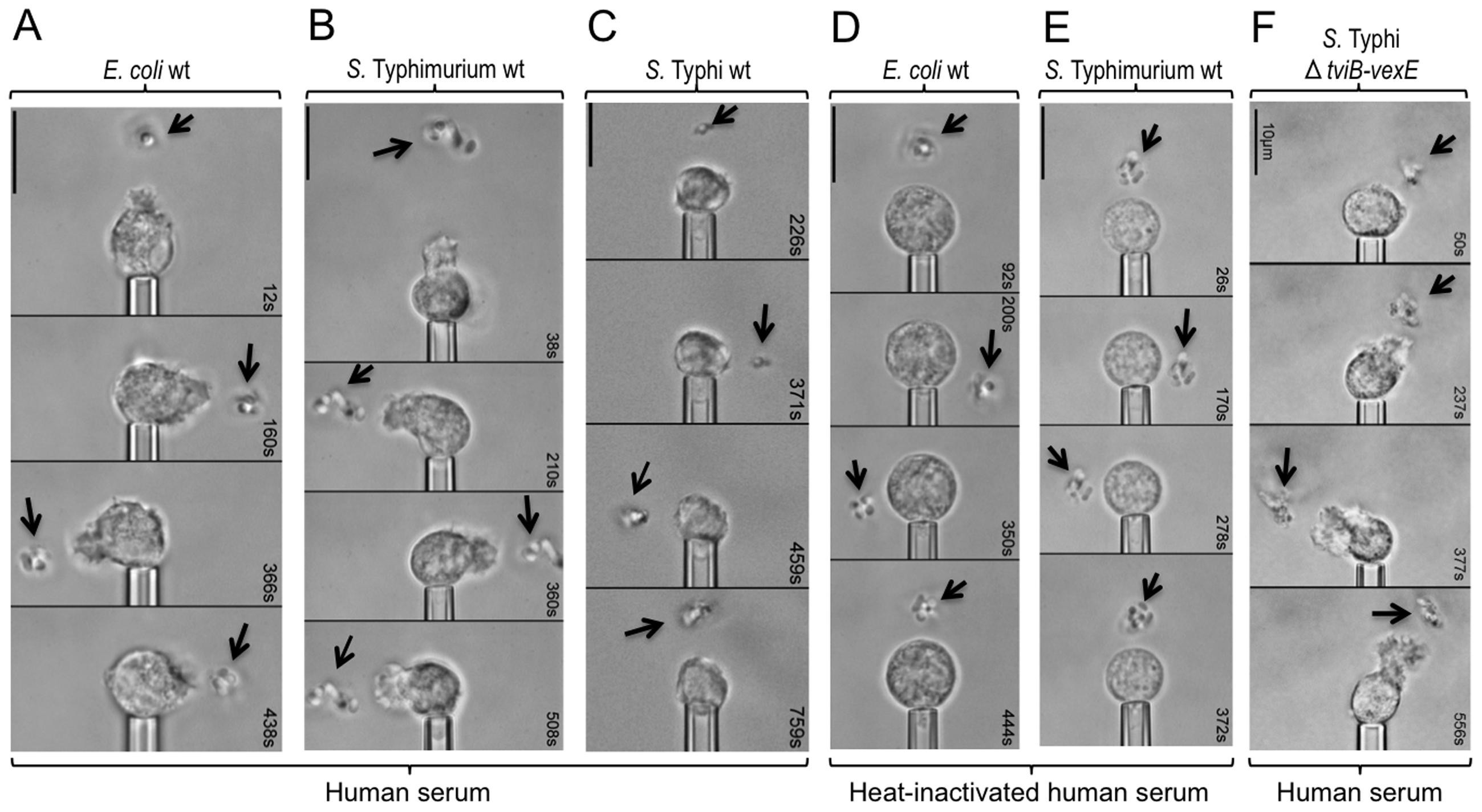 The Vi capsular polysaccharide inhibits chemotactic responses of human neutrophils <i>in vitro</i>.