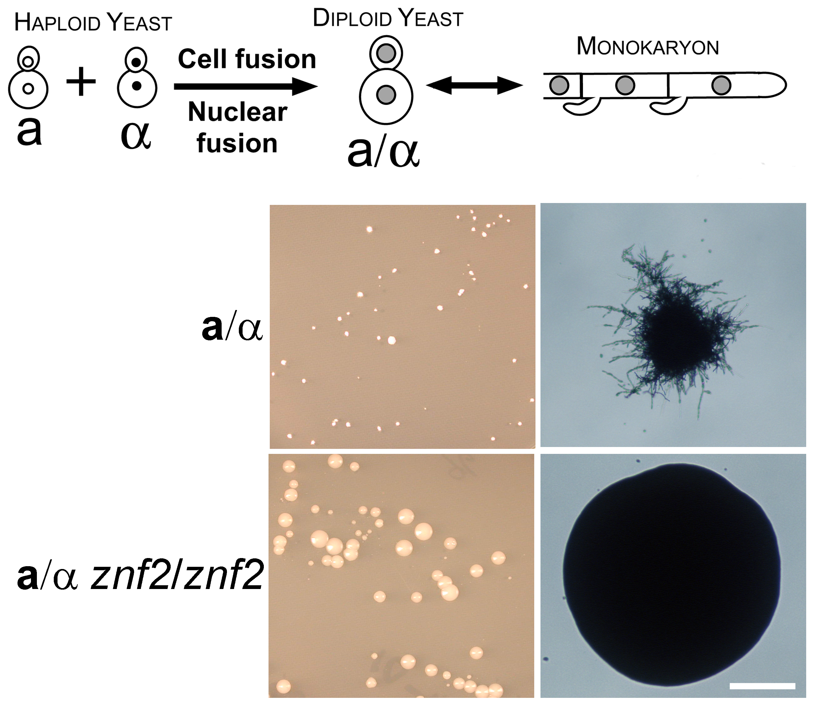 Znf2 is required for hyphal formation after cell-cell fusion during a-α mating.