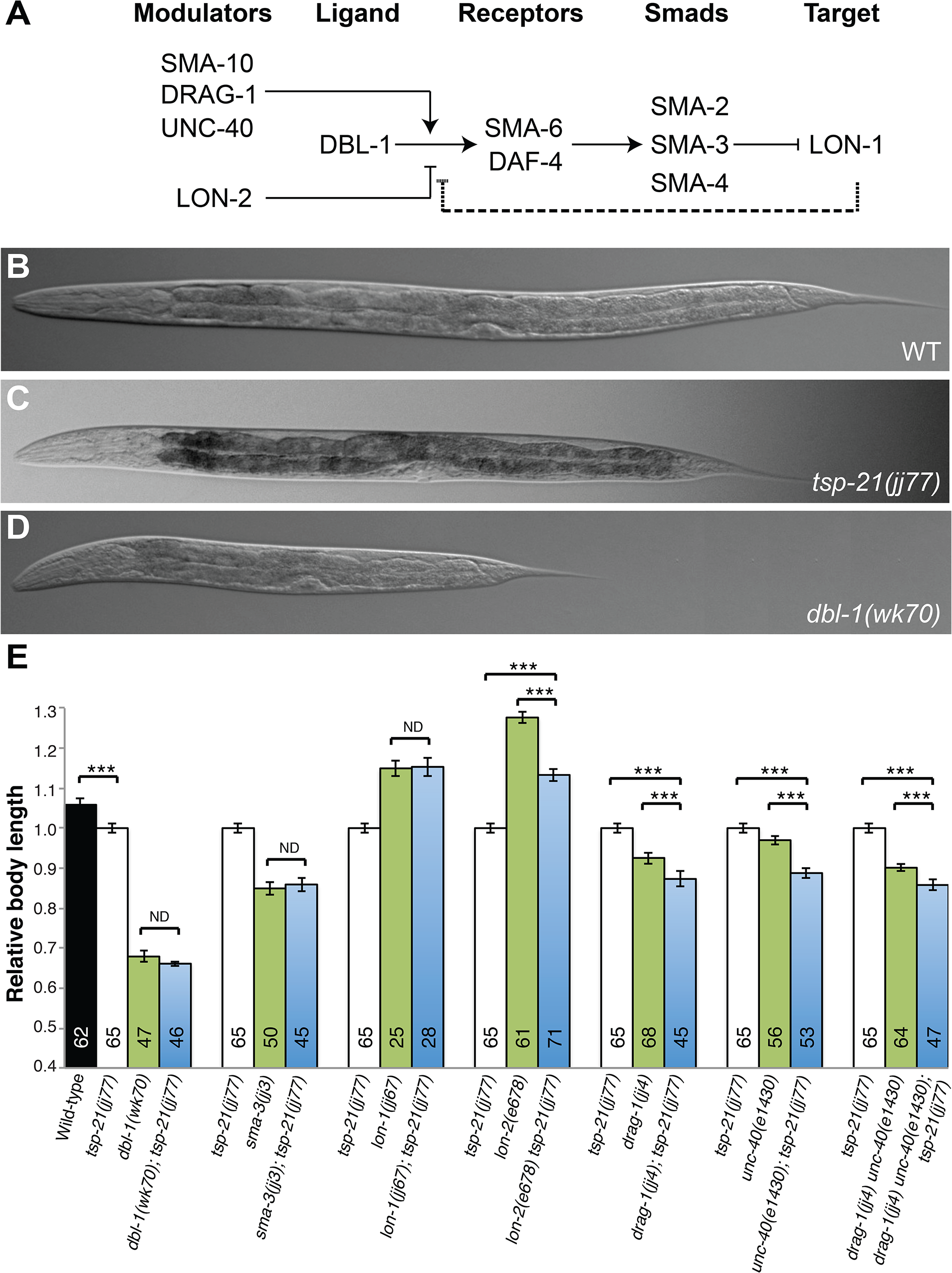 TSP-21 functions at the ligand-receptor level to positively modulate Sma/Mab signaling.