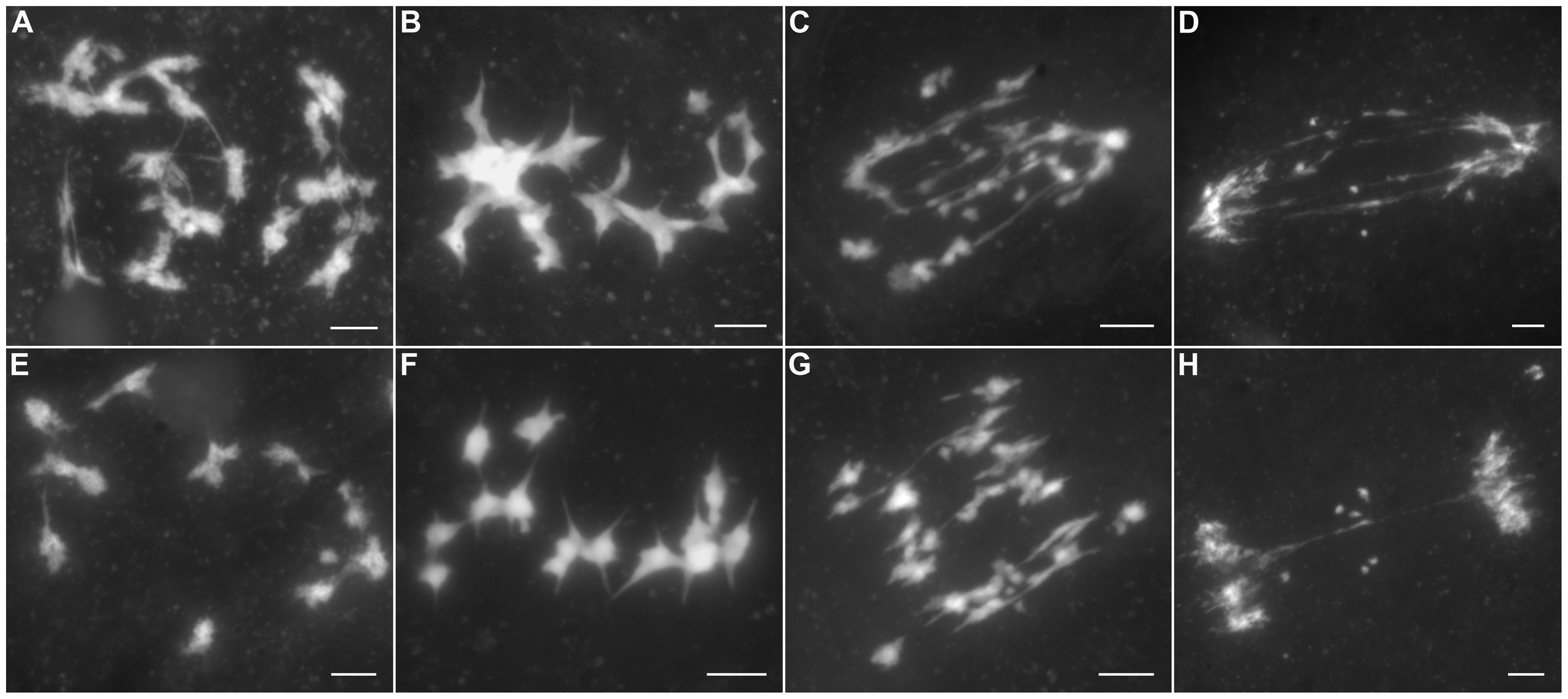 The aberrant chromosomal interactions in <i>Oshus1-1</i> resulted in multivalent associations and chromosome fragments.