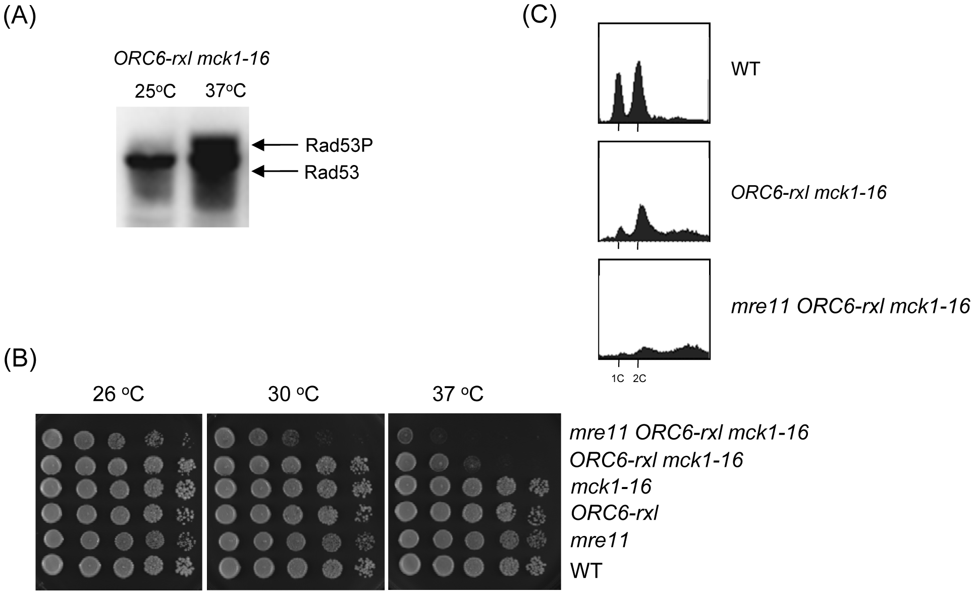 DNA damage was induced in <i>ORC6-rxl mck1-16</i> cells.