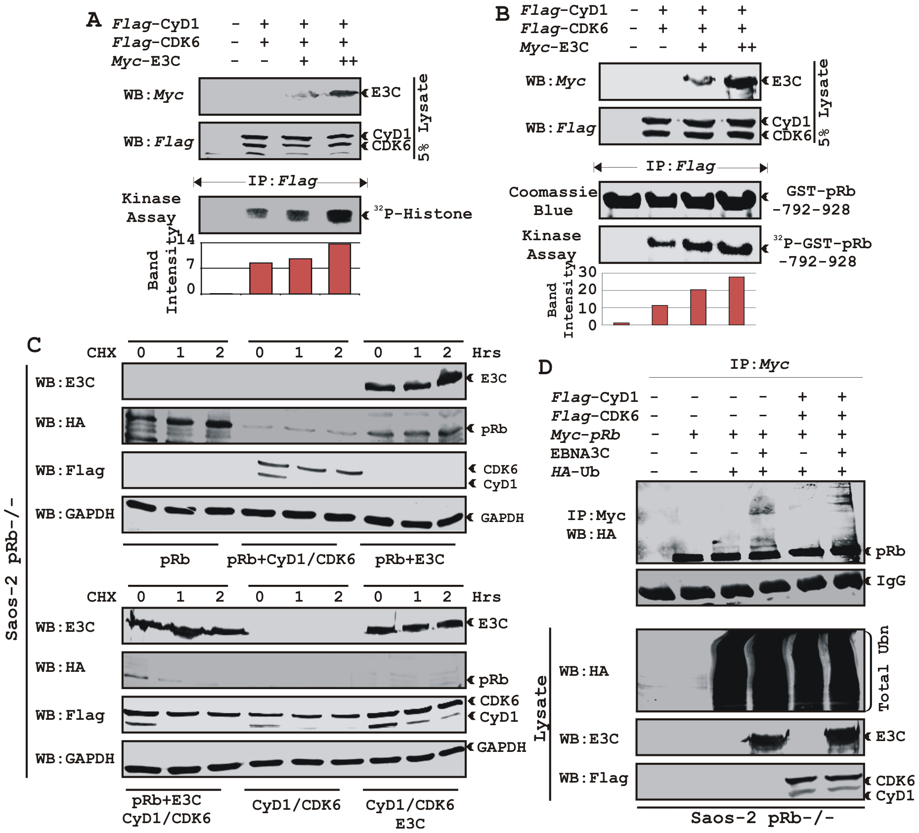EBNA3C enhances functional activity of Cyclin D1/CDK6 complex to negatively regulate pRb protein stability.