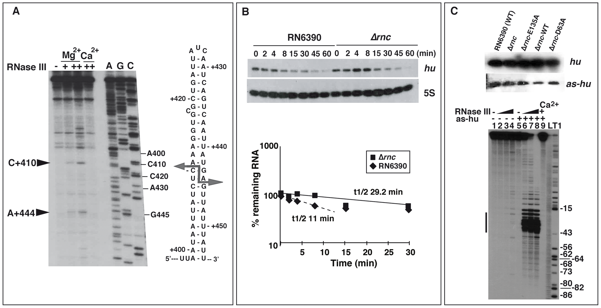 Effect of RNase III on mRNA turnover.