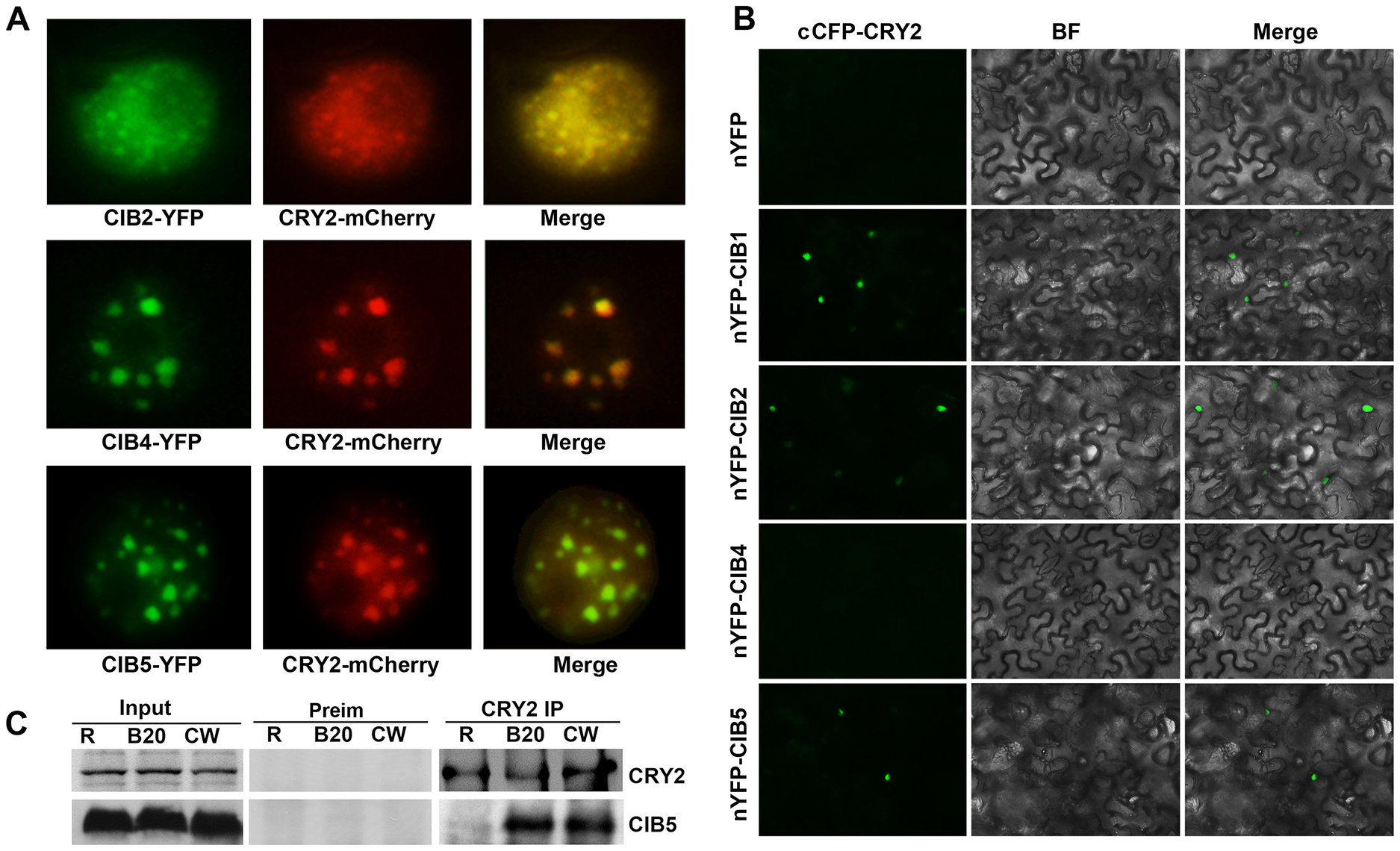 Blue light-dependent CRY2-CIB5 interaction in plant cells.