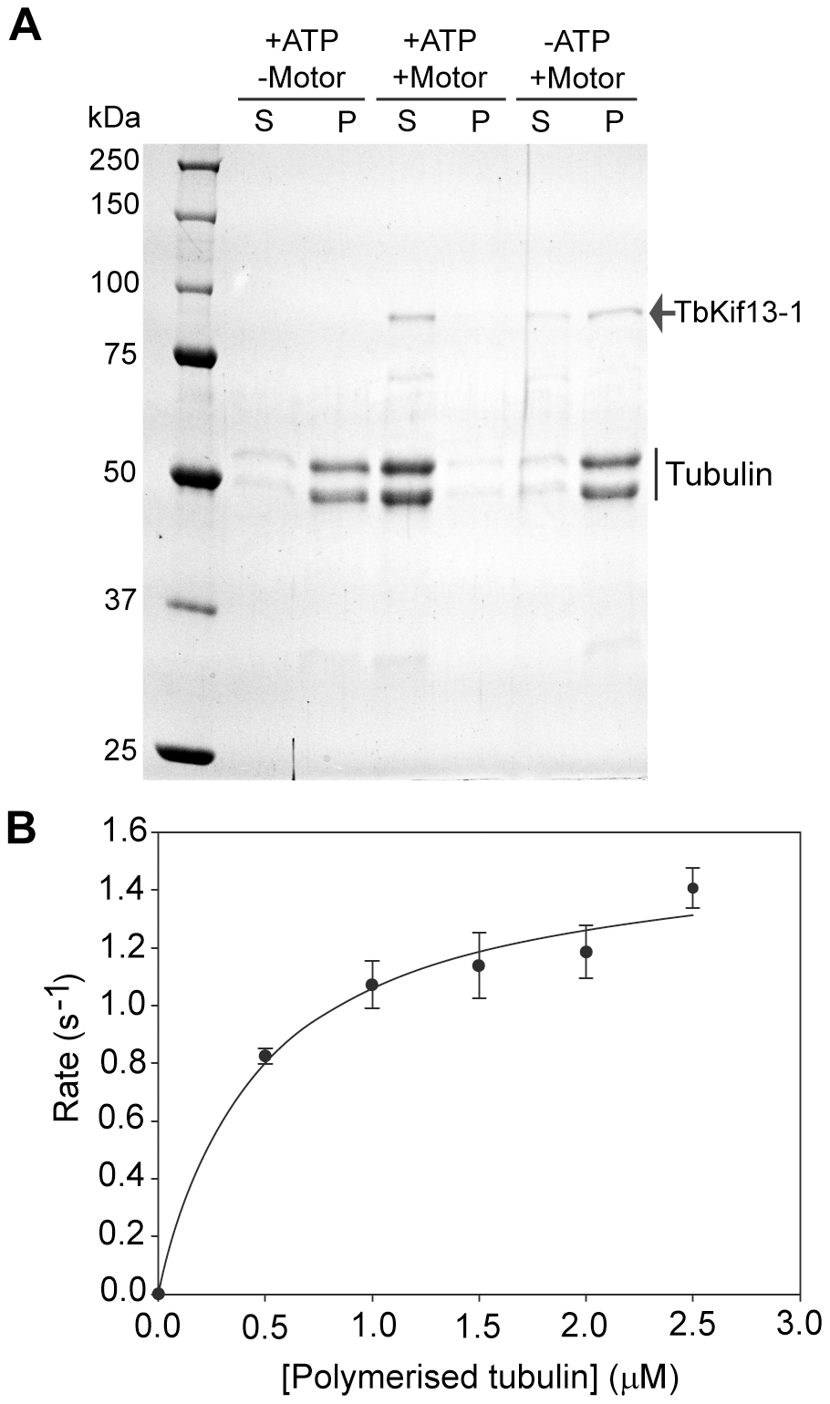 <i>In vitro</i> biochemical analysis of recombinant TbKif13-1.