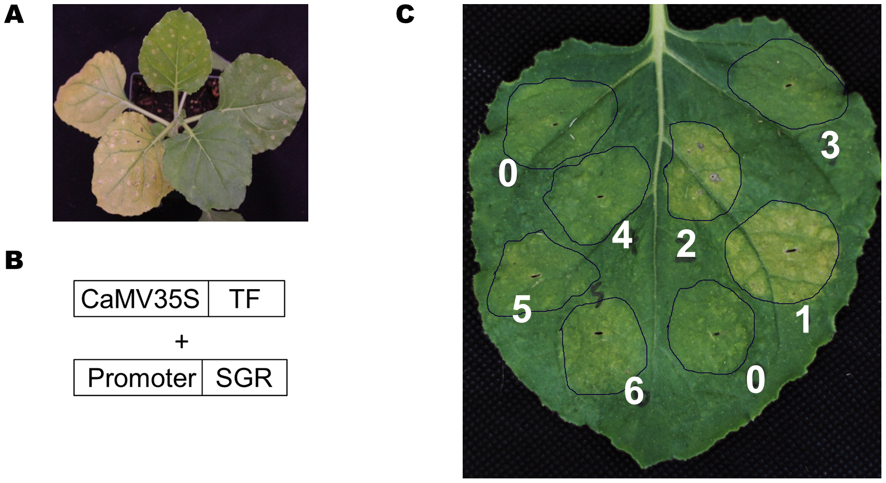 A TF-promoter screening system based on the SGR gene.