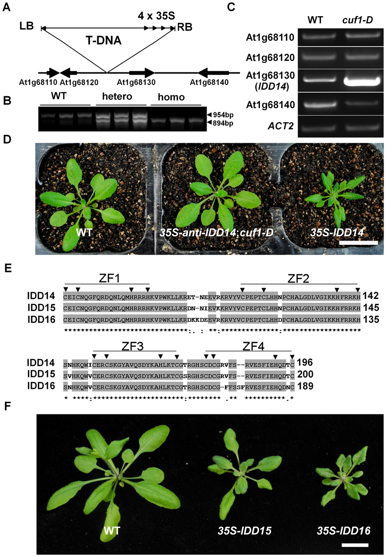 Molecular characterization of <i>CUF1</i>/<i>IDD14</i>.