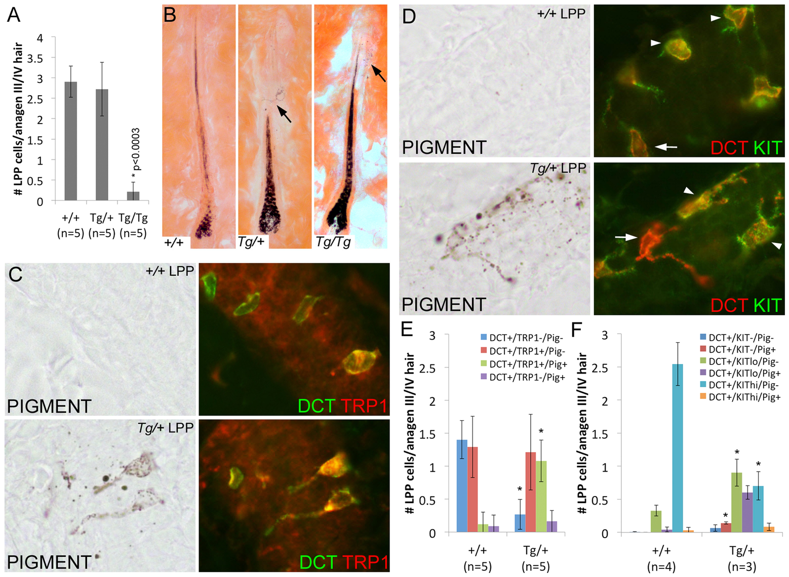Overexpression of <i>Sox10</i> results in premature differentiation of LPP melanocytes in anagen hairs.