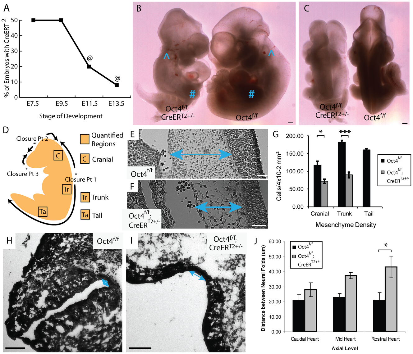 Depletion of Oct4 ∼E7.5 results in diminished viability, reduced mesenchyme density and broader spacing between the neural folds.