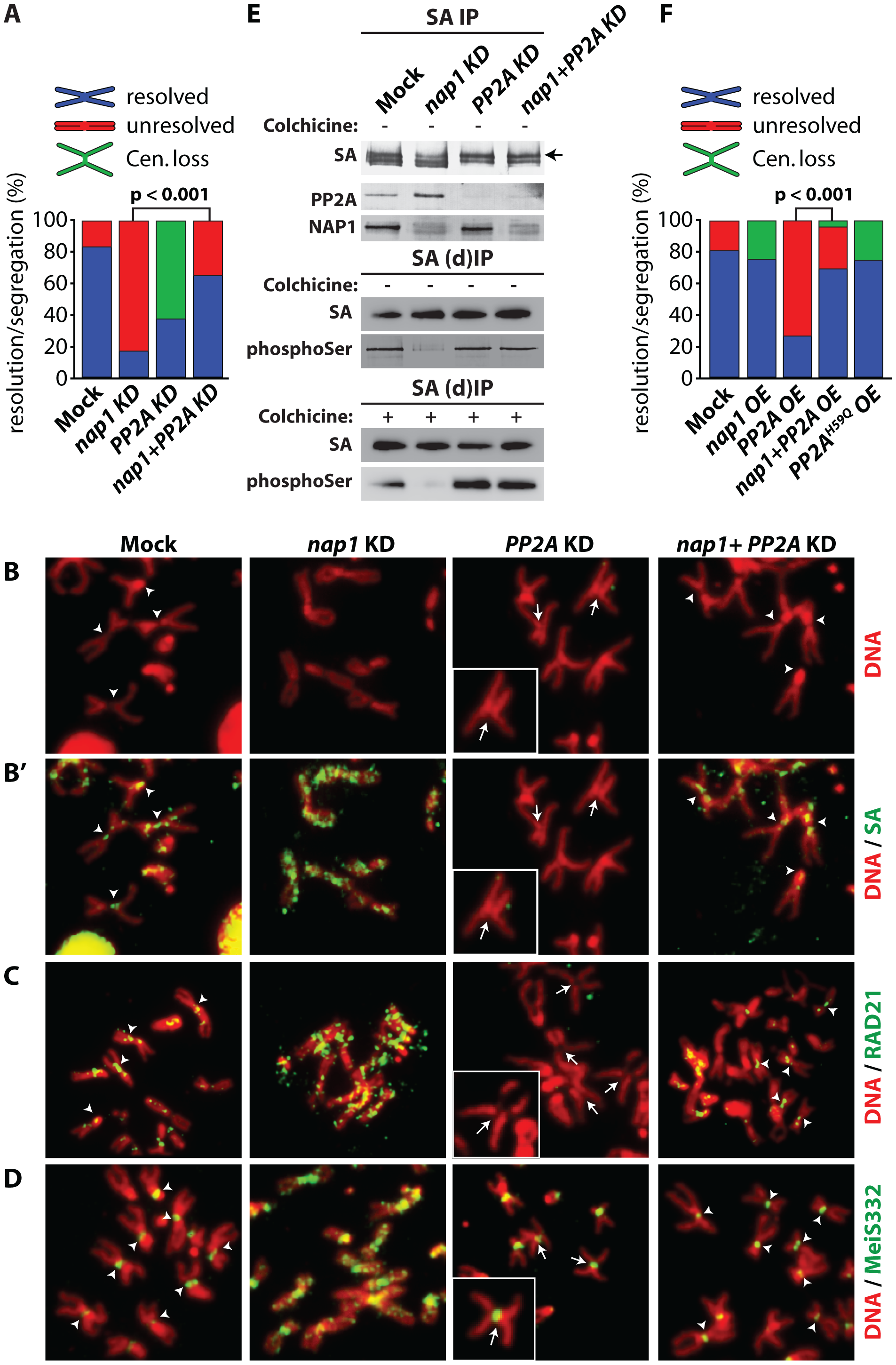 NAP1 and PP2A act antagonistically in cohesin cycle.