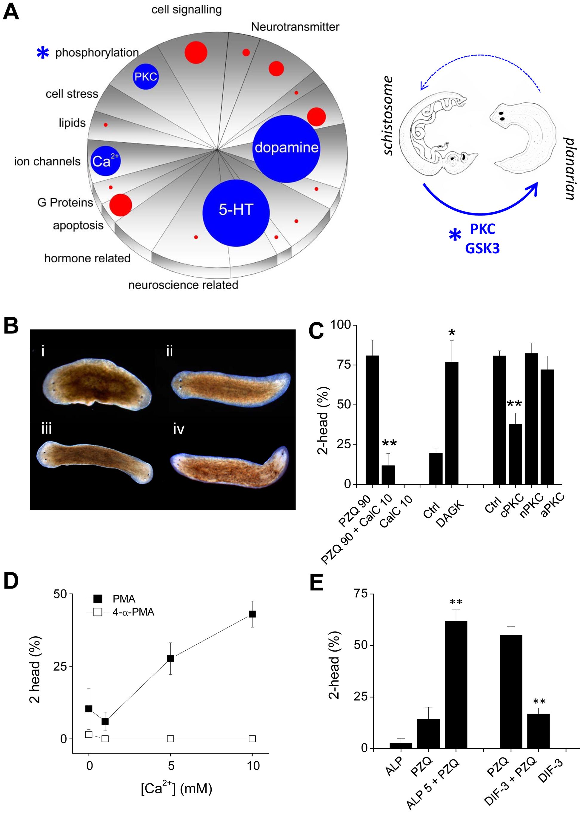 Small molecules efficacious as antischistosomals miscue planarian AP polarity.