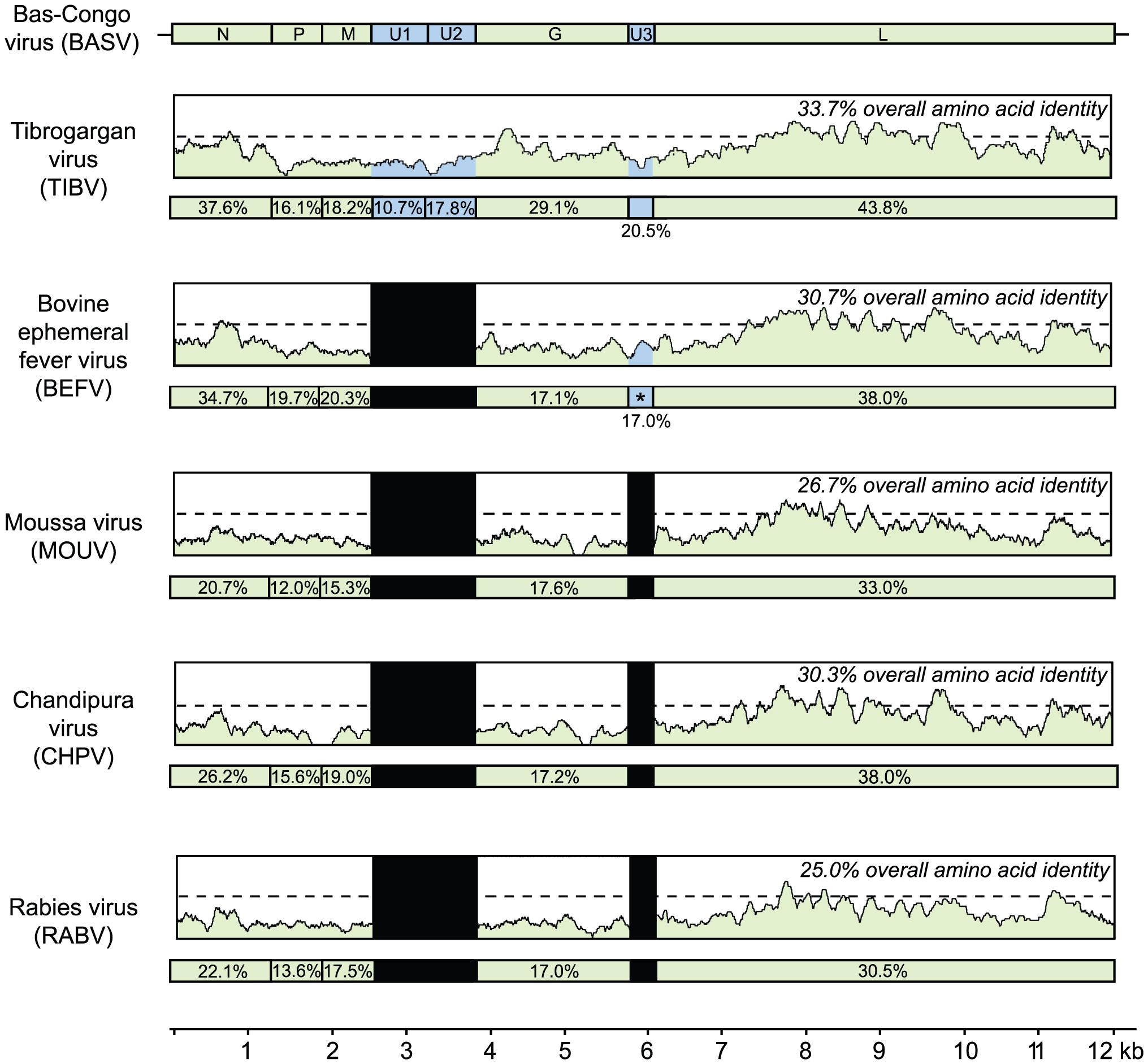 Schematic representation of the genome organization of BASV and its protein similarity plot compared to representative rhabdoviruses.