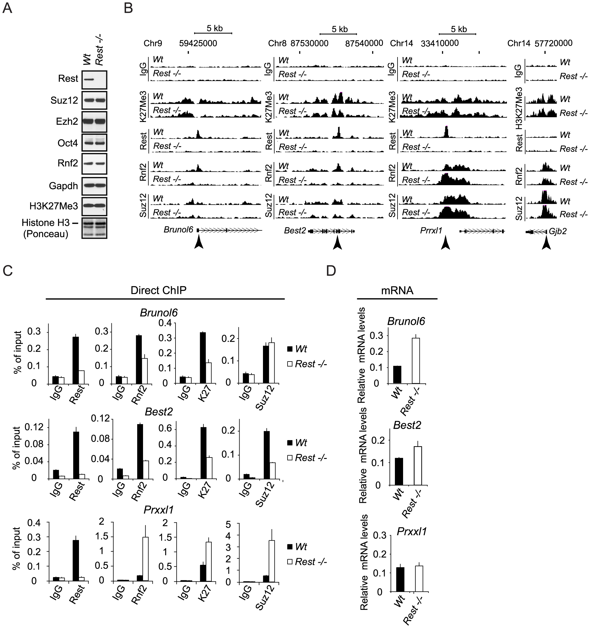 Rest regulates recruitment of PRC1 and PRC2 at specific genomic loci.