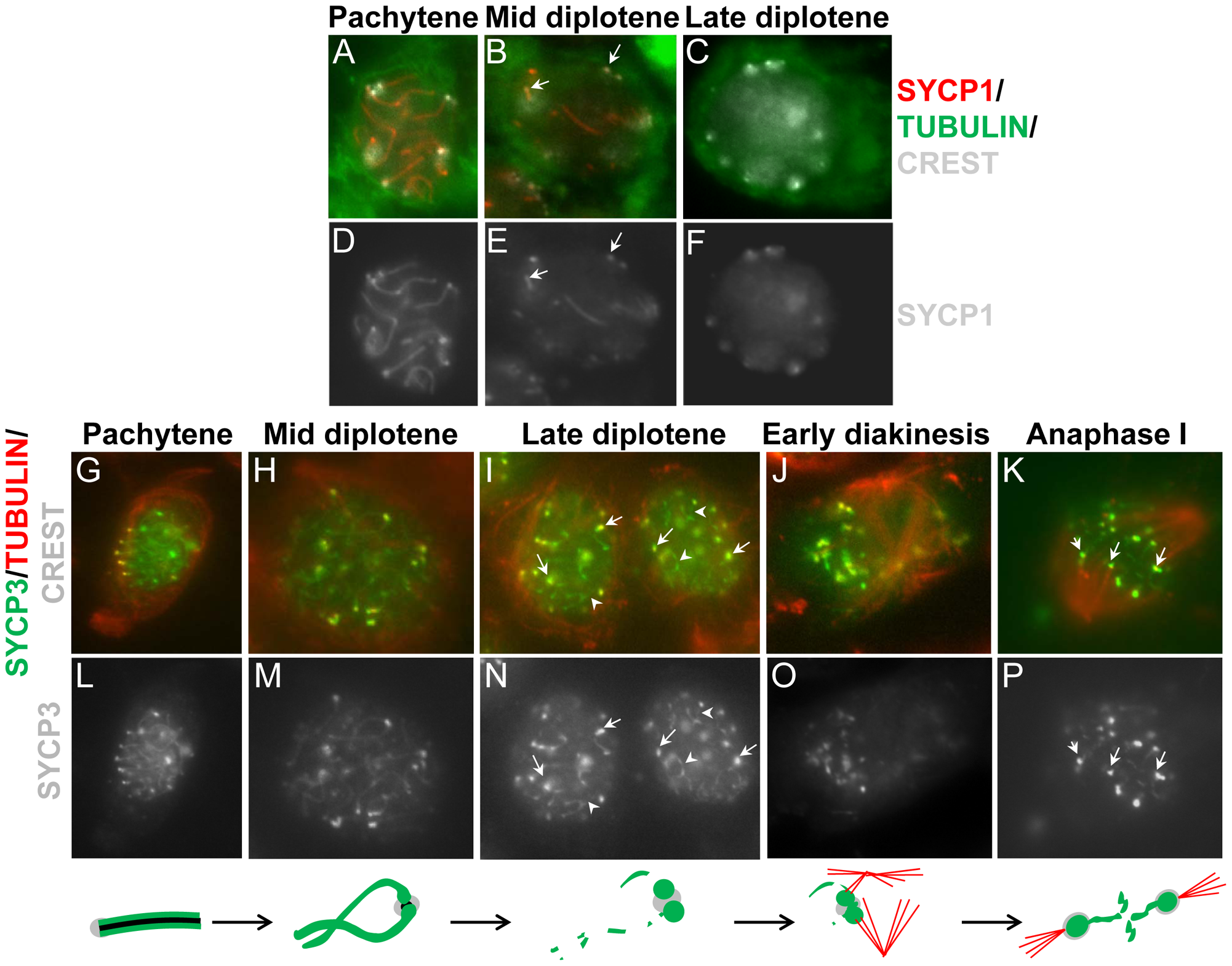 SYCP1 and SYCP3 are differentially retained on chromosomes as cells progress through meiosis I.