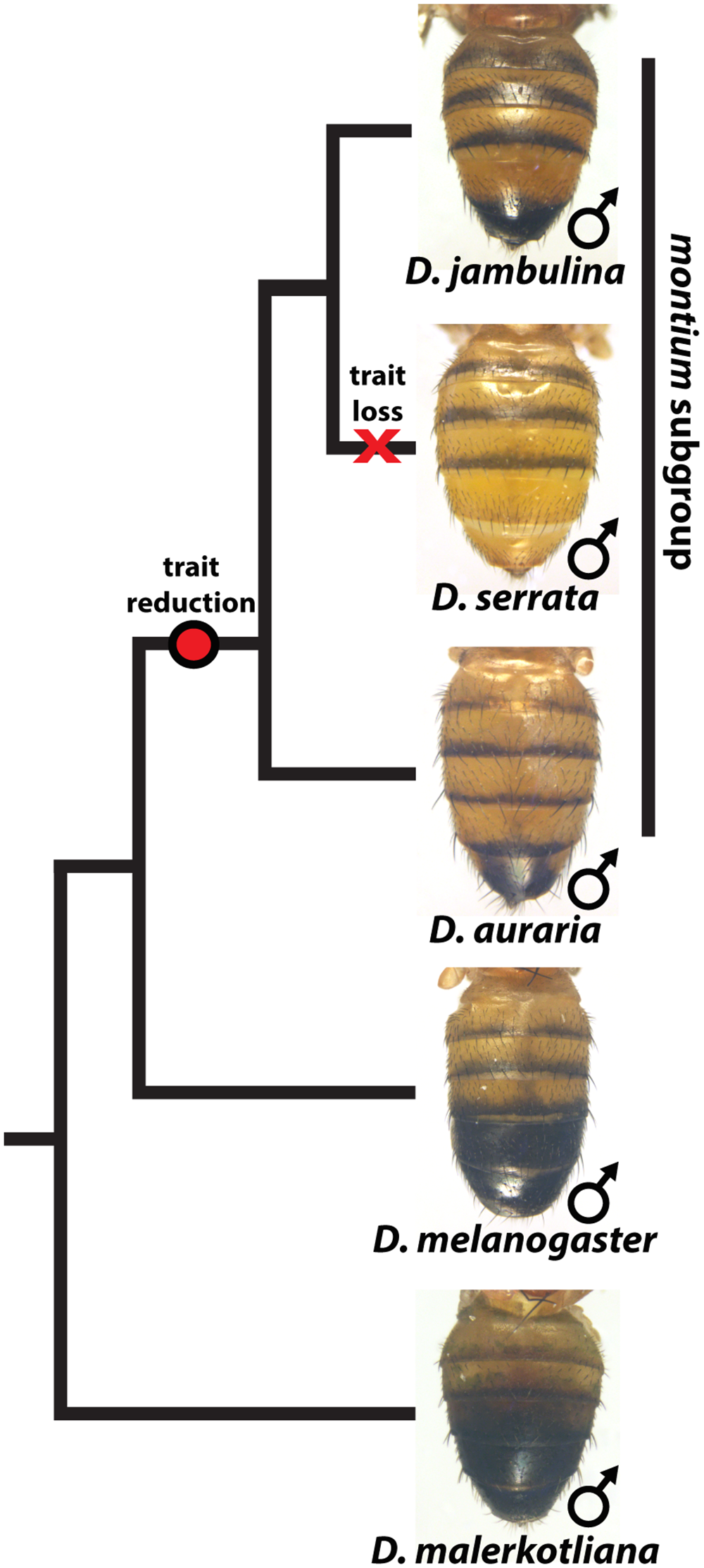 The loss and diversification of body pigmentation in males of the <i>montium</i> subgroup.