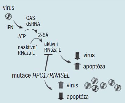 Antivirový a apoptický účinek RNázy L. Jako odpověď na interferon a virové infekce je pomocí double stranded RNA (dsRNA) aktivována skupina oligoadenylátové syntetázy (OAS), což vede k přeměně ATP na několik krátkých oligoadenylátů vázaných na (2-5A). 2-5A se váže s vysokou afinitou na RNázu L, která ji přeměňuje z neaktivního monomeru na silný dimer, jenž degraduje dsRNA a způsobuje apoptózu hostitelských buněk. Buňky karcinomu prostaty postrádající RNlázu L jsou rezistentní na apoptózu. Více podrobností v literatuře [25,31].