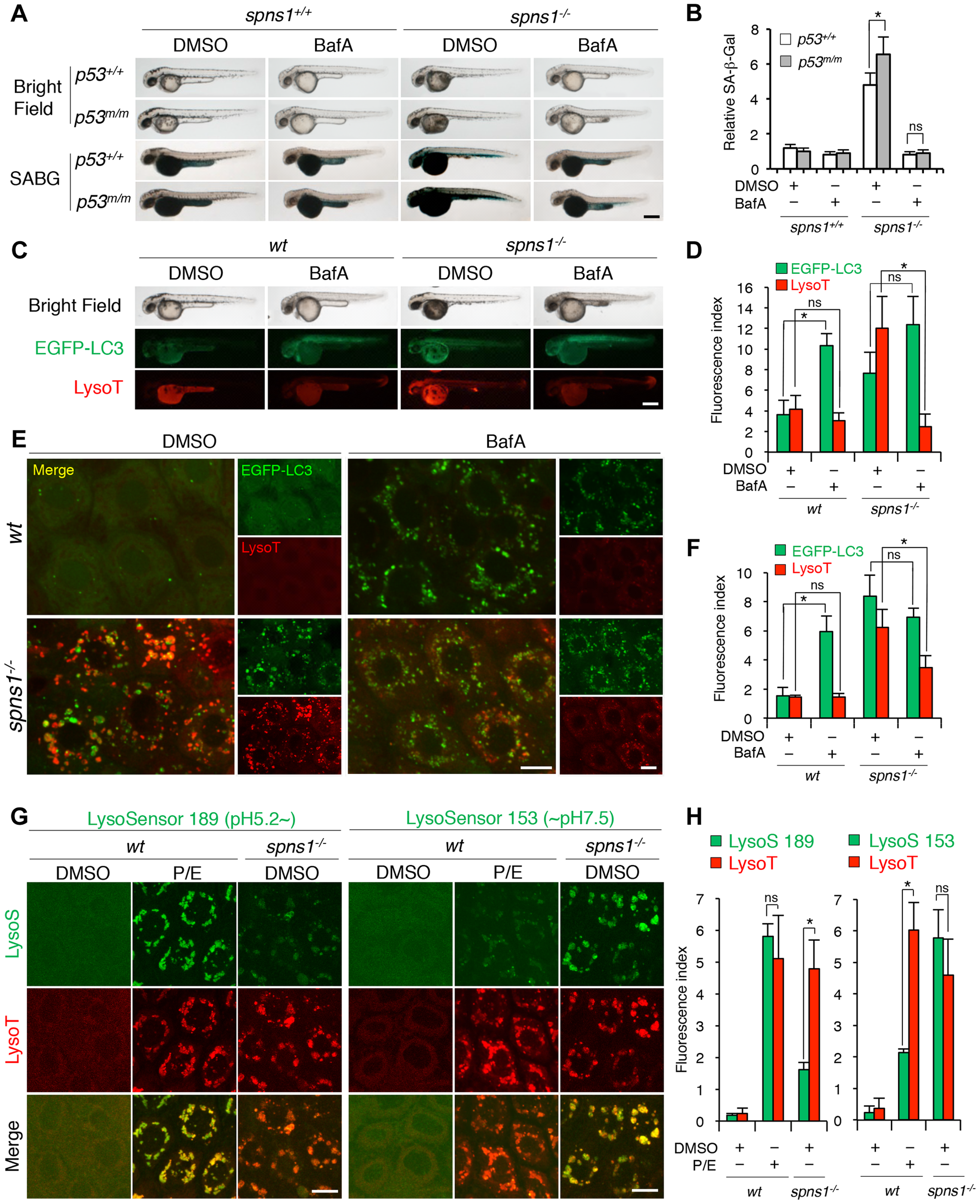 Acidity-dependent lysosomal biogenesis is rate limiting in <i>spns1</i>-mutant zebrafish.