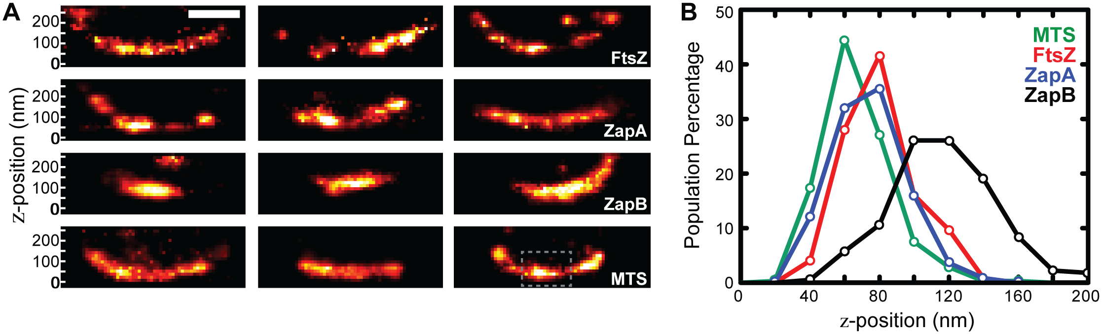 iPALM imaging and <i>z</i>-position measurements of FtsZ, ZapA, and ZapB.
