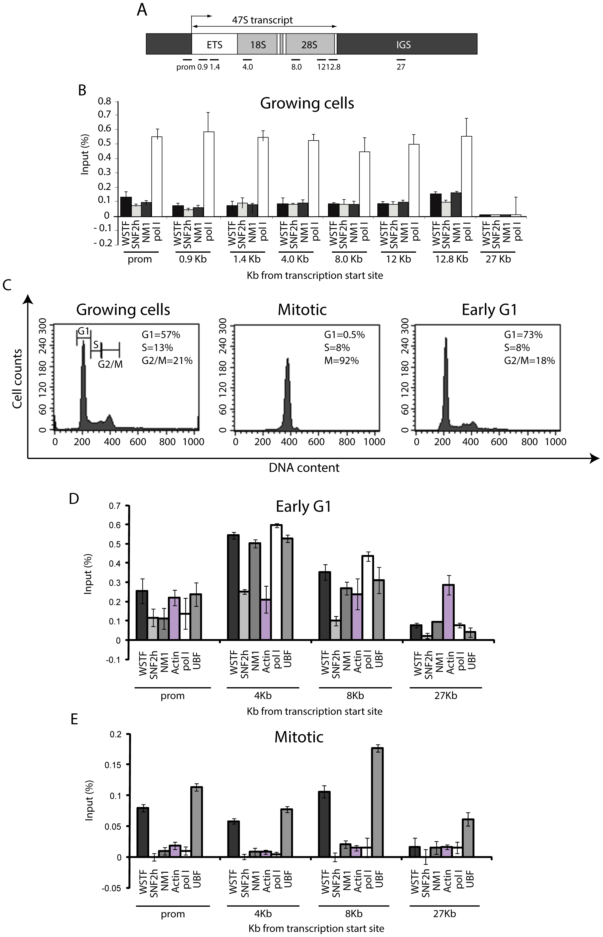 rRNA gene occupancy of NM1, SNF2h, and actin is cell cycle-dependent.