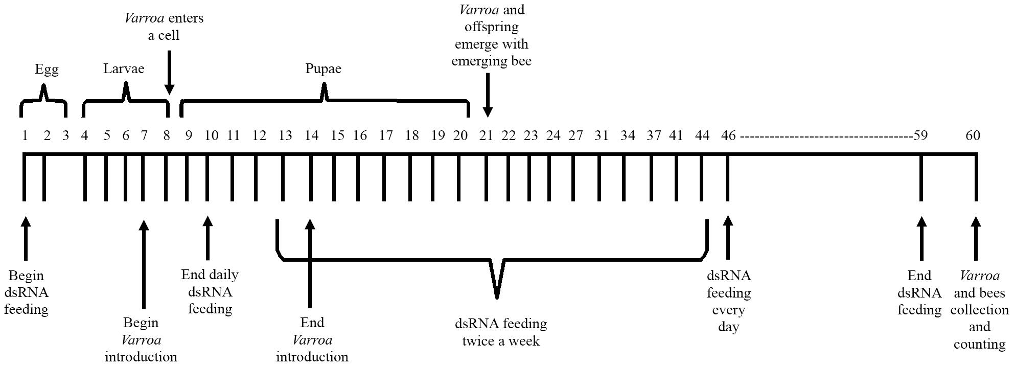 Schematic representation of the honey bee feeding regimen.