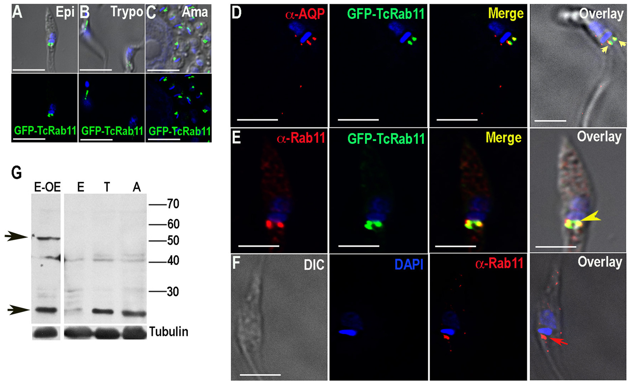 Fluorescence microscopy analysis of TcRab11 in different stages of <i>T. cruzi</i>.