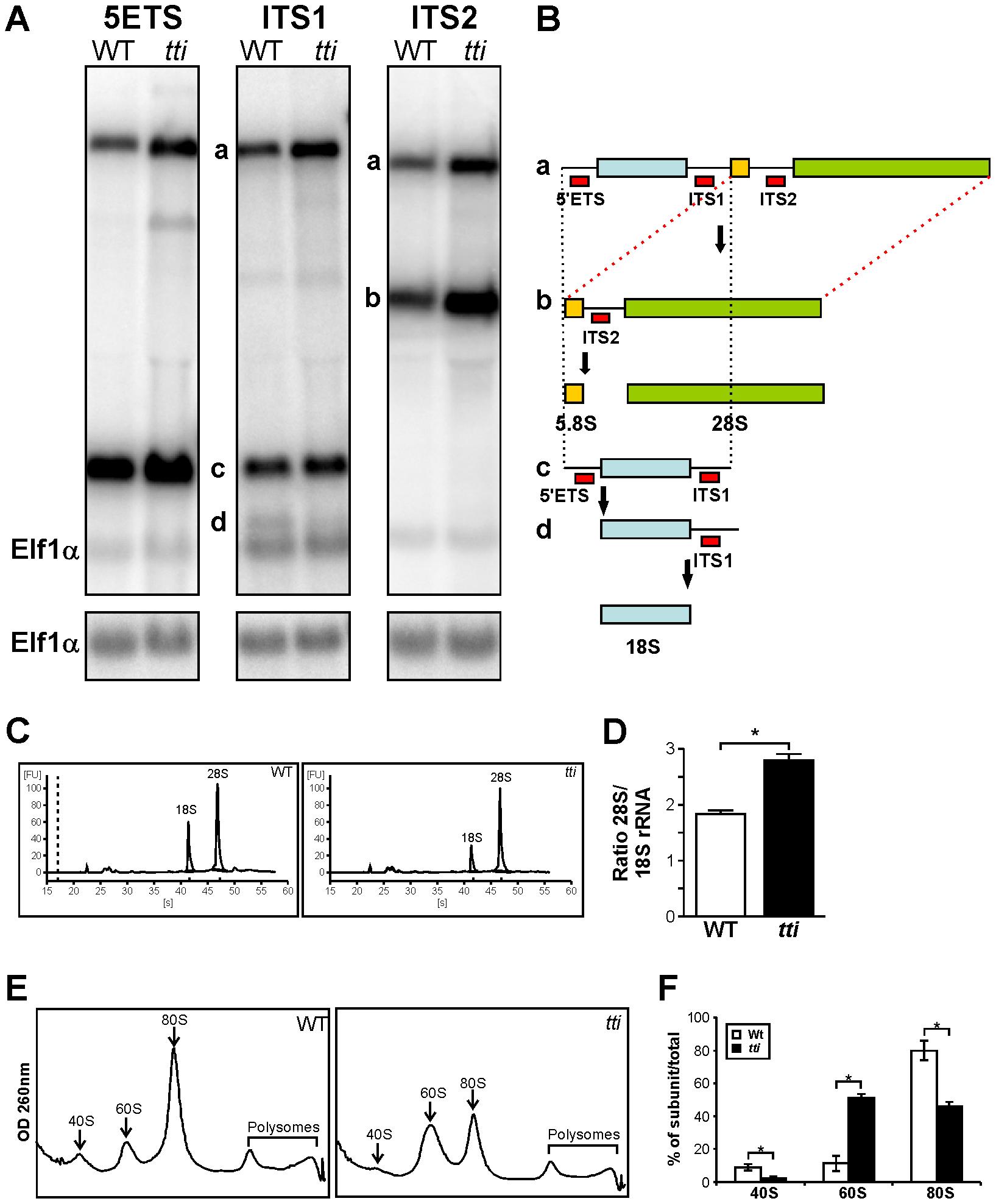 <i>tti<sup>s450</sup></i> larvae display defects in ribosome biogenesis.