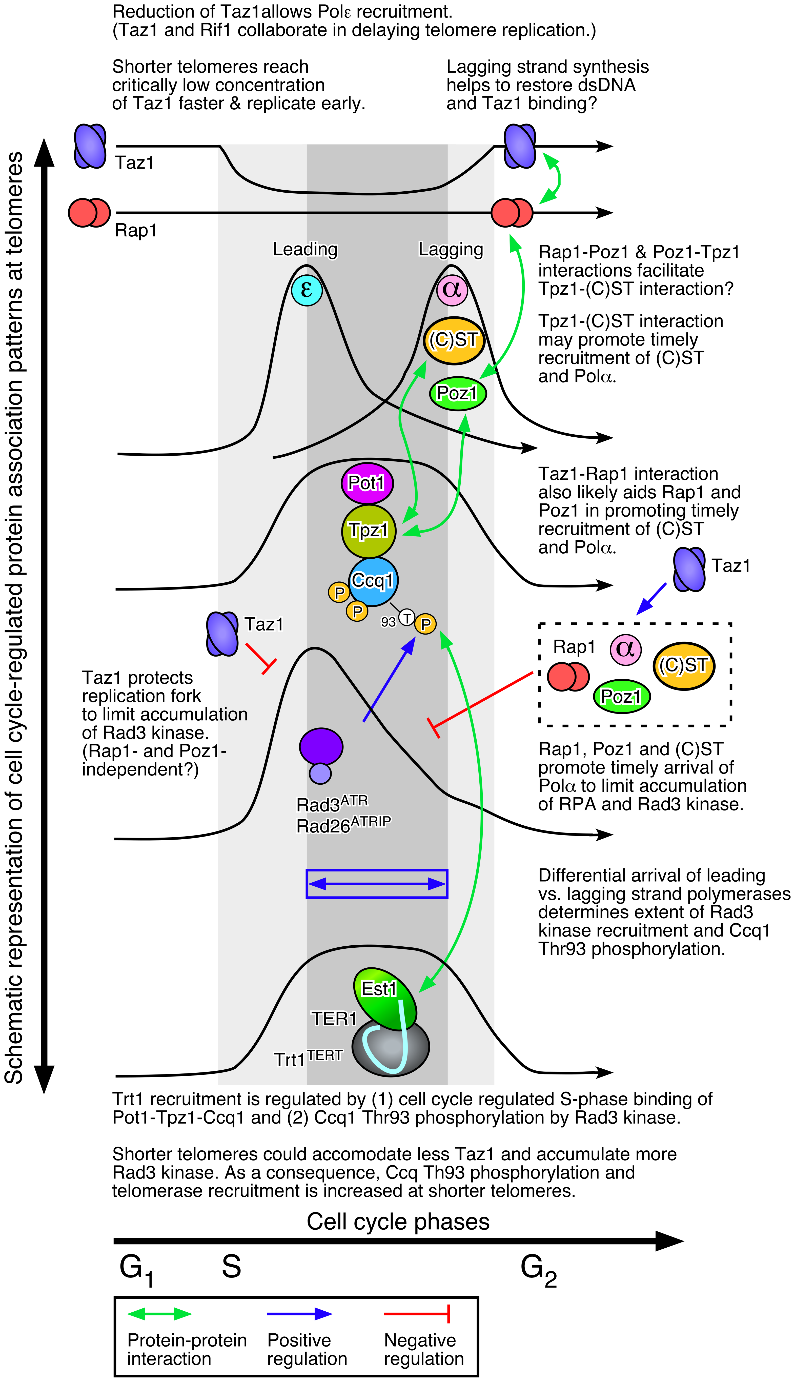 A working model of fission yeast telomere length control.