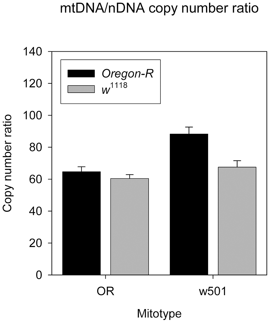 sm21 and w501 mitotypes effects on mtDNA/nDNA copy number ratio in <i>OreR</i> and <i>w</i><sup>1118</sup> nuclear background.