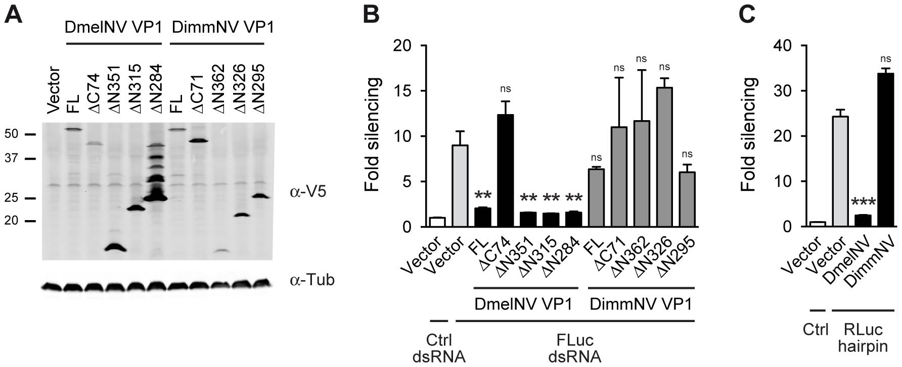 VP1 suppressor activity is species-specific.