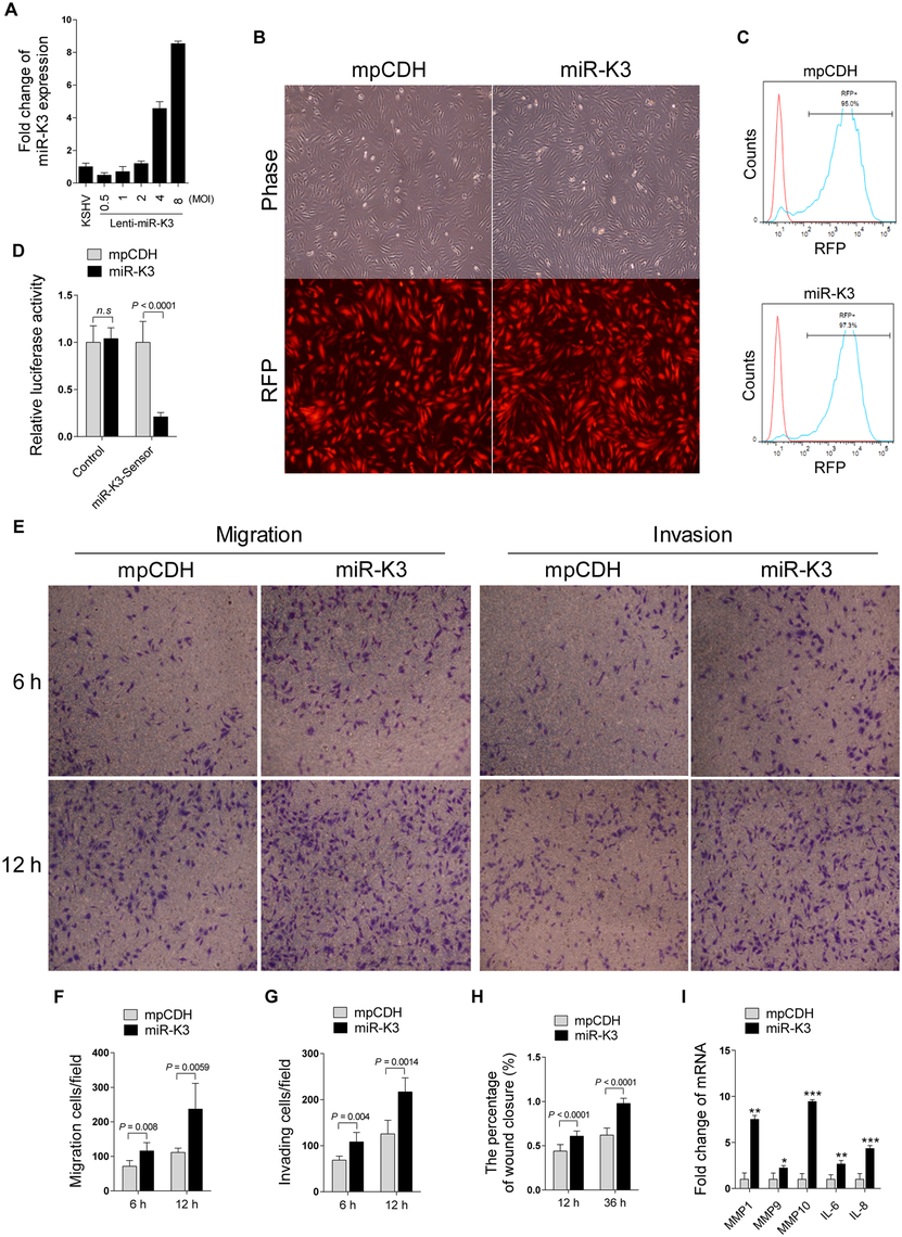 Ectopic expression of miR-K3 promotes endothelial cell migration and invasion.