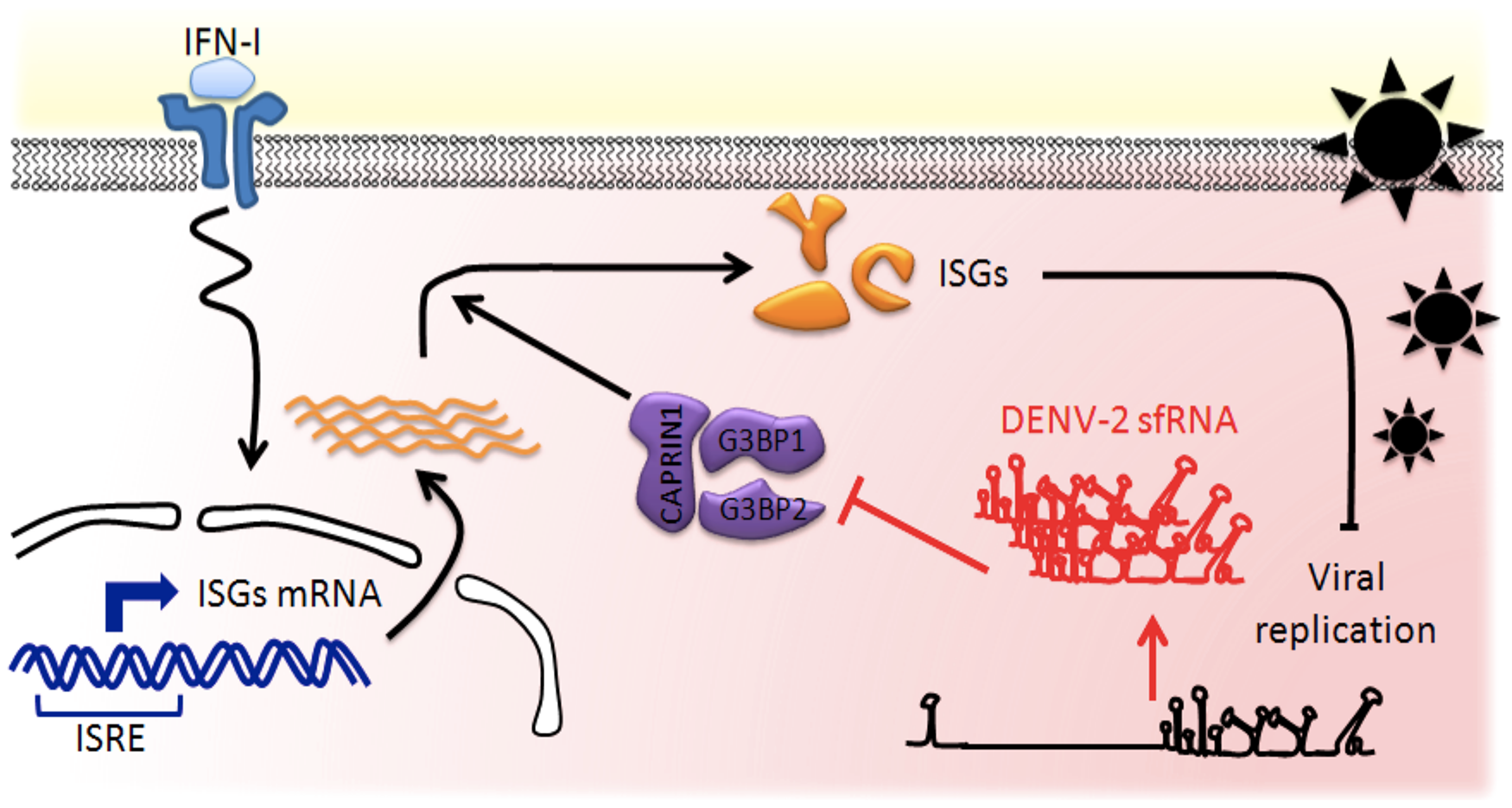 Model of the DENV-2 sfRNA antagonizing IFN action.