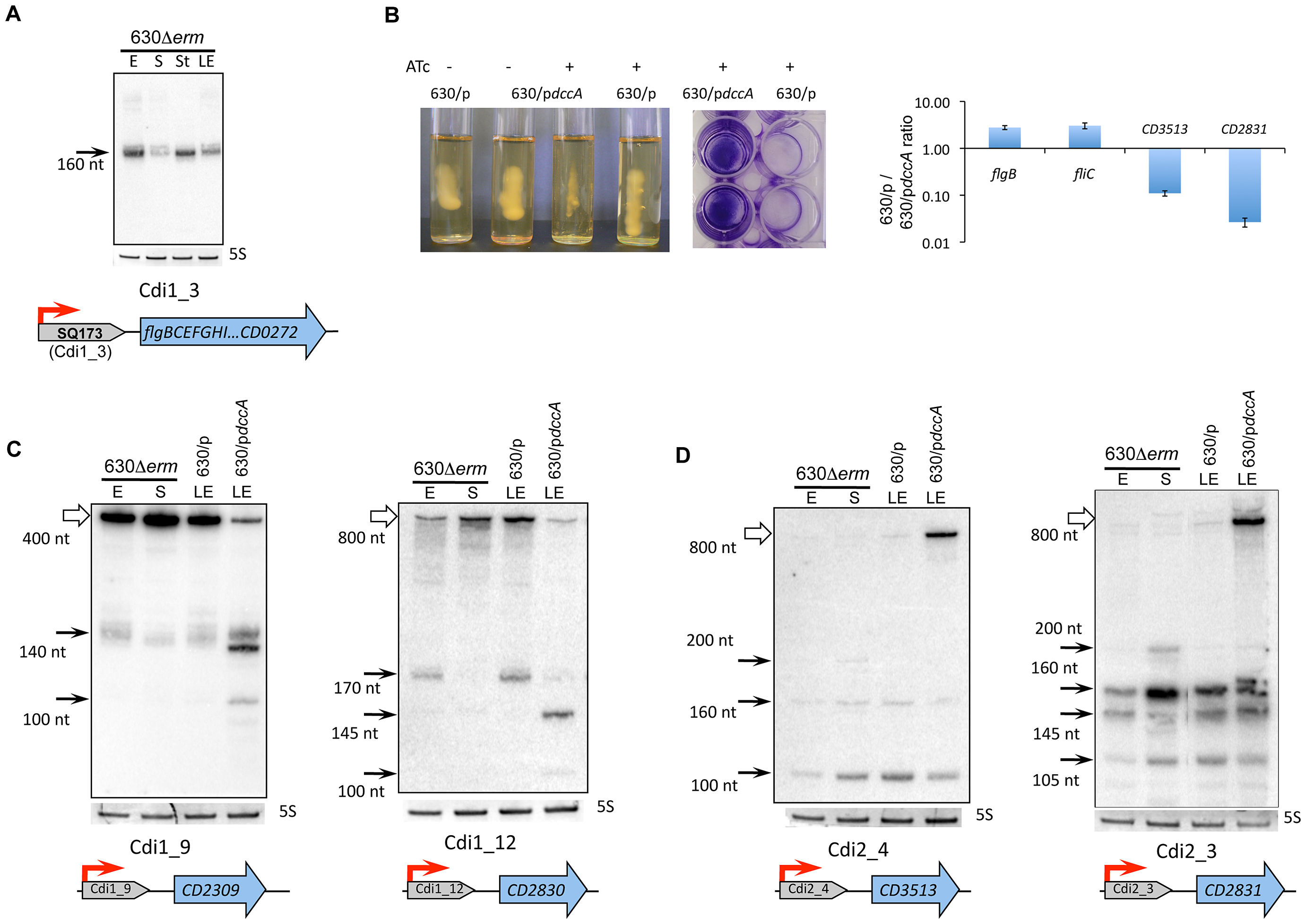 Functional analysis of c-di-GMP riboswitches in <i>C. difficile</i>.