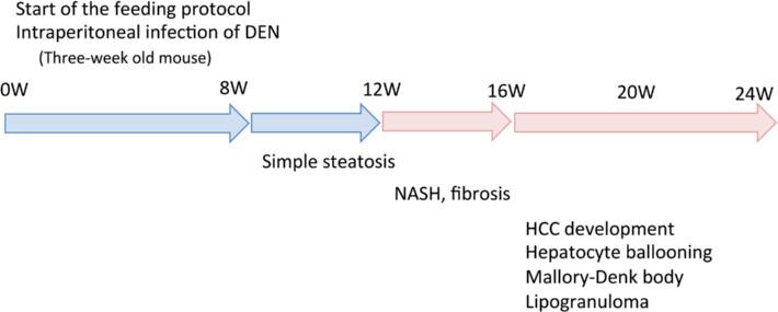 Summary of the experimental model. DEN, diethylnitrosamine; HCC, hepatocellular carcinoma; NASH, nonalcoholic steatohepatitis