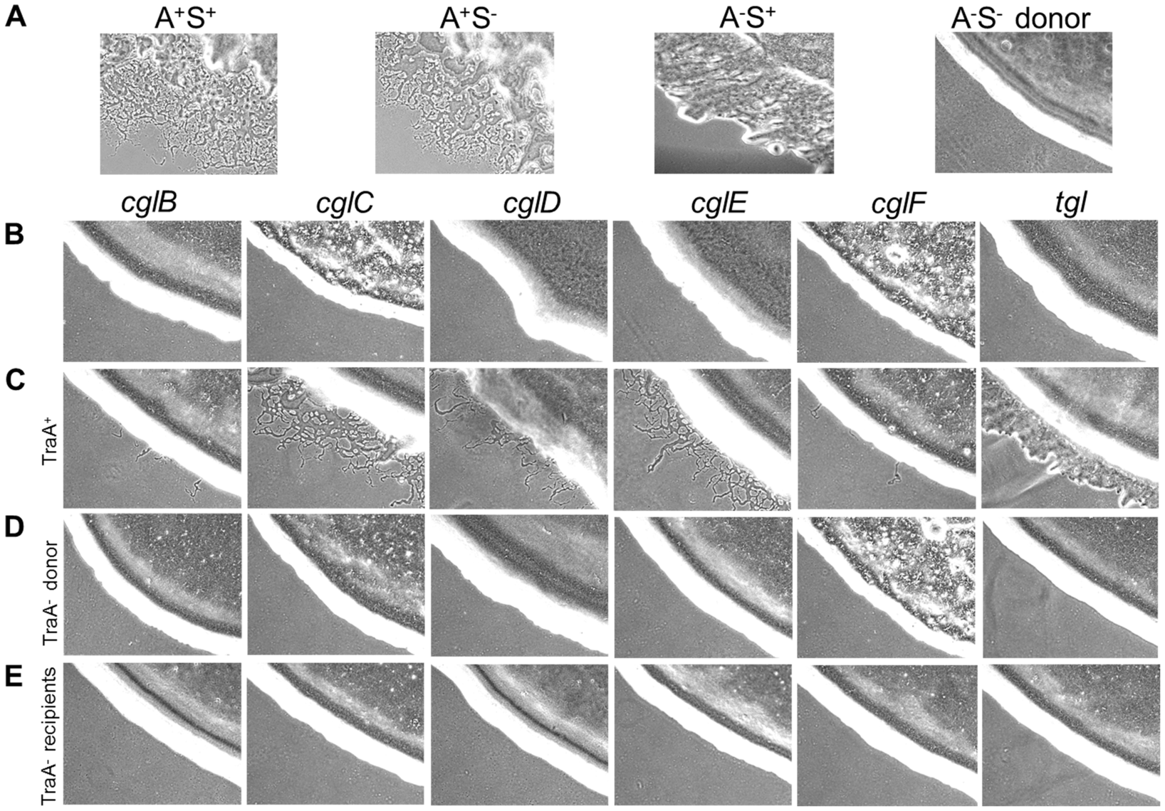 Stimulation of gliding motility depends on TraA.