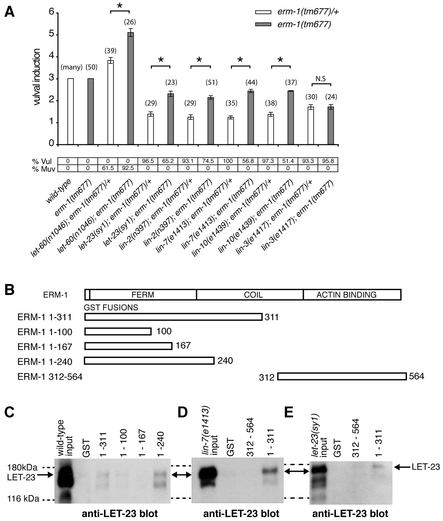 ERM-1 negatively regulates vulval induction and binds to LET-23.