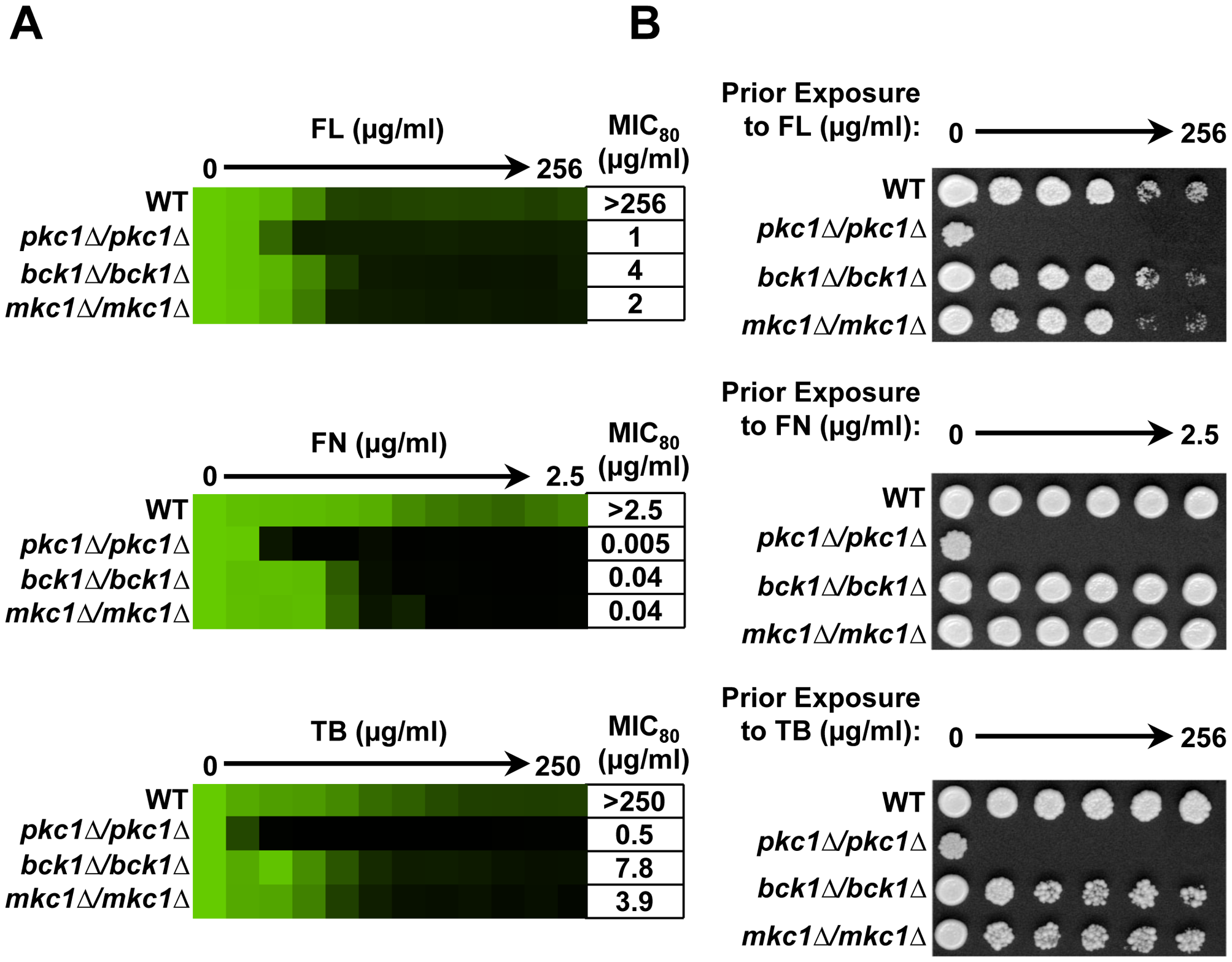Pkc1 enables basal tolerance to ergosterol biosynthesis inhibitors in part via the MAPK cascade in <i>Candida albicans</i>.