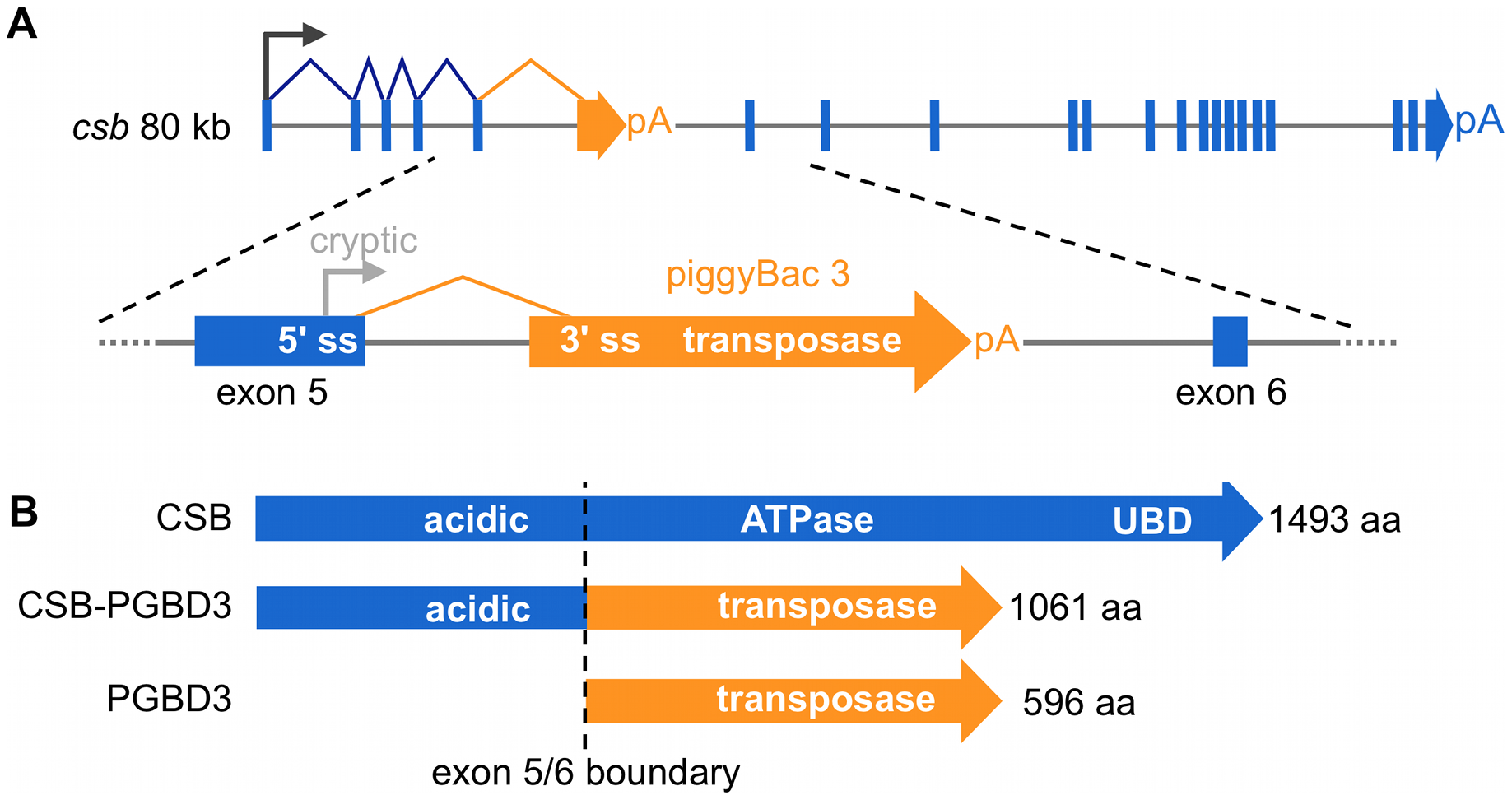 The CSB-PGBD3 fusion protein is abundantly expressed by alternative splicing and polyadenylation of the CSB transcript.