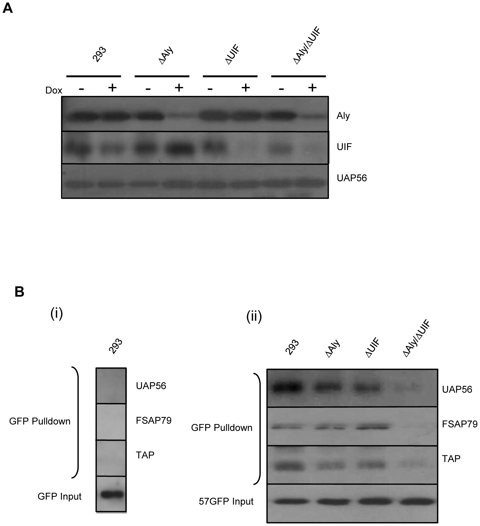 Knockdown of both Aly and UIF impairs the ability of ORF57 form an export competent viral ribonucleoprotein particle.