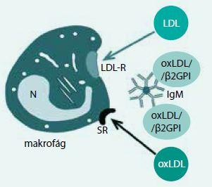 Imunokompex oxLDL/β2GPI s IgM není internalizován. Upraveno podle [14]
