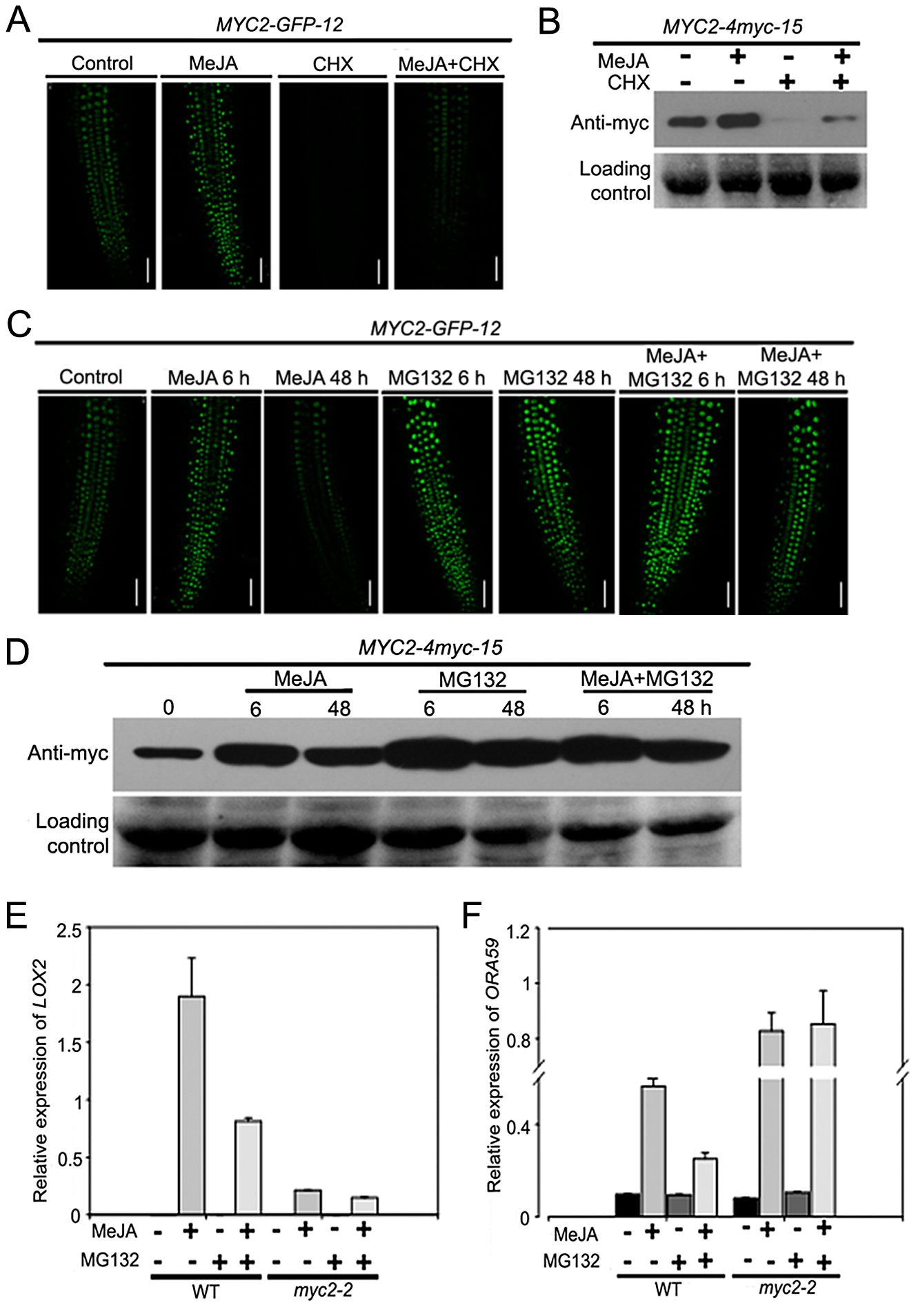 JA-Induced Transcription of MYC2 Target Genes Requires the Proteasome.