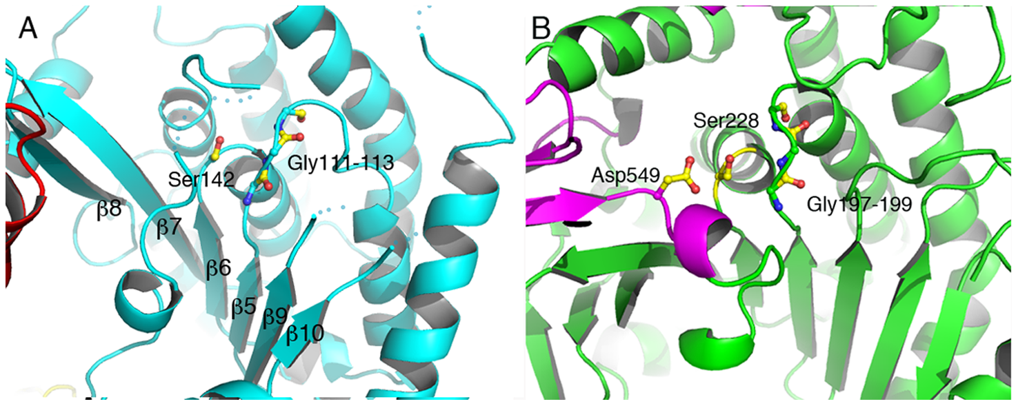 The catalytic domain of ExoU displays an α/β hydrolase fold.