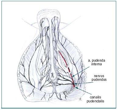 Perineum, průběh n. pudendus a a. pudenda interna.