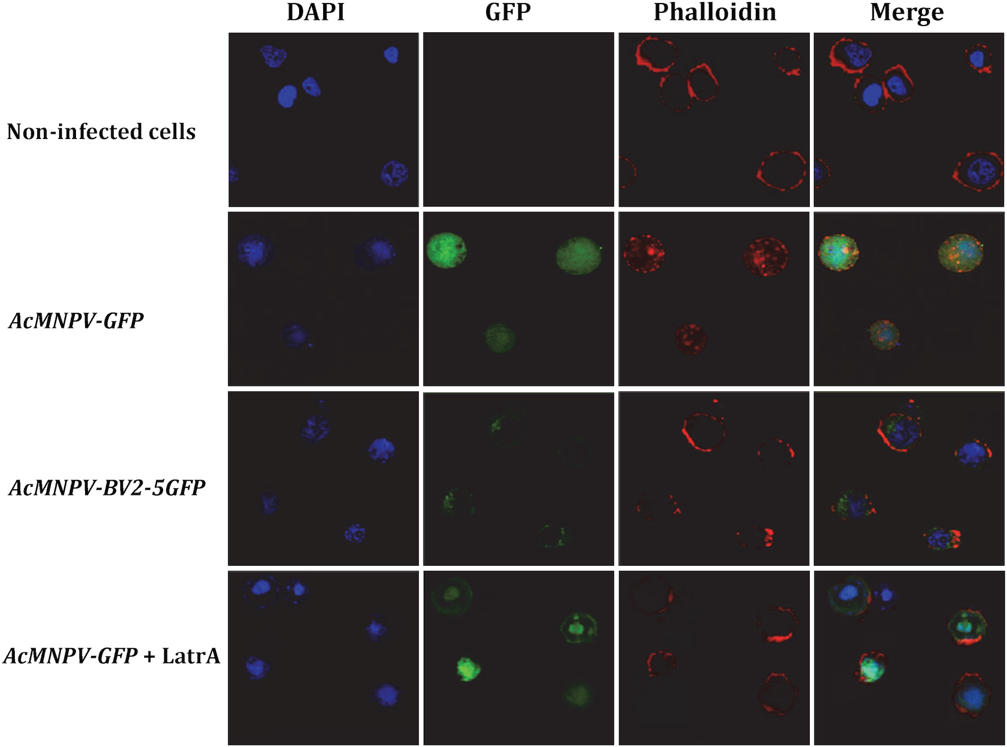 Cellular localization of BV2-5 and its effect on actin distribution.